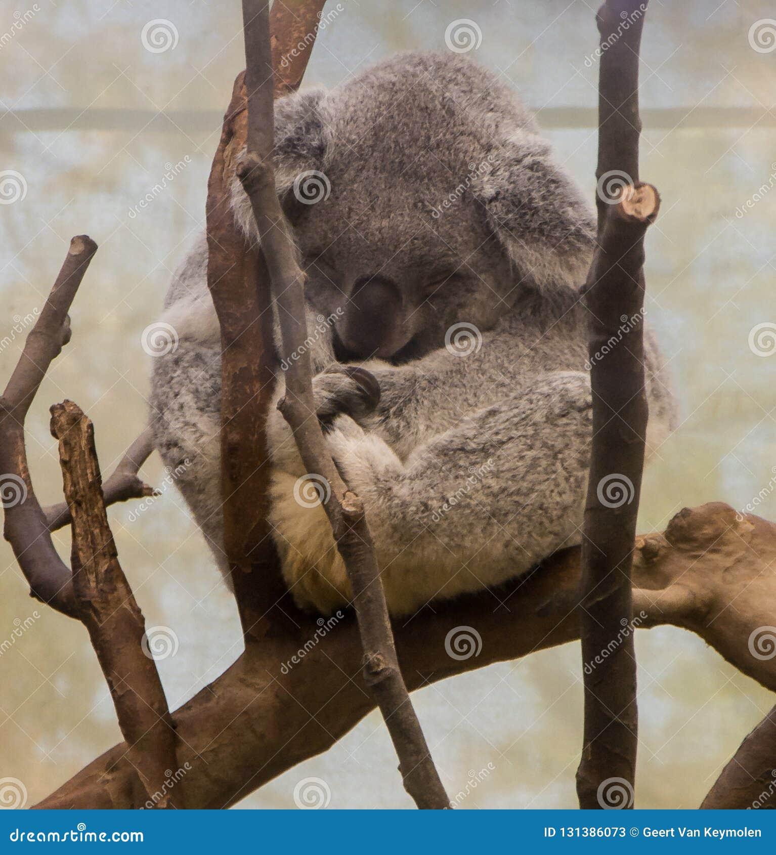 Little koala bear sleeping on a branch
