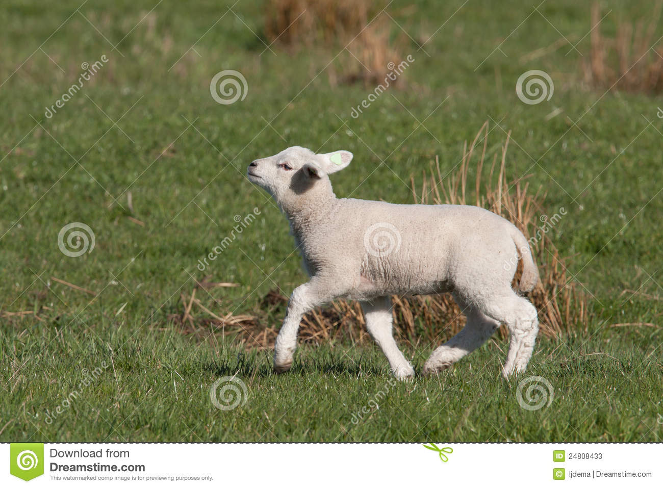 little lamb walking with its chin up high stock photos