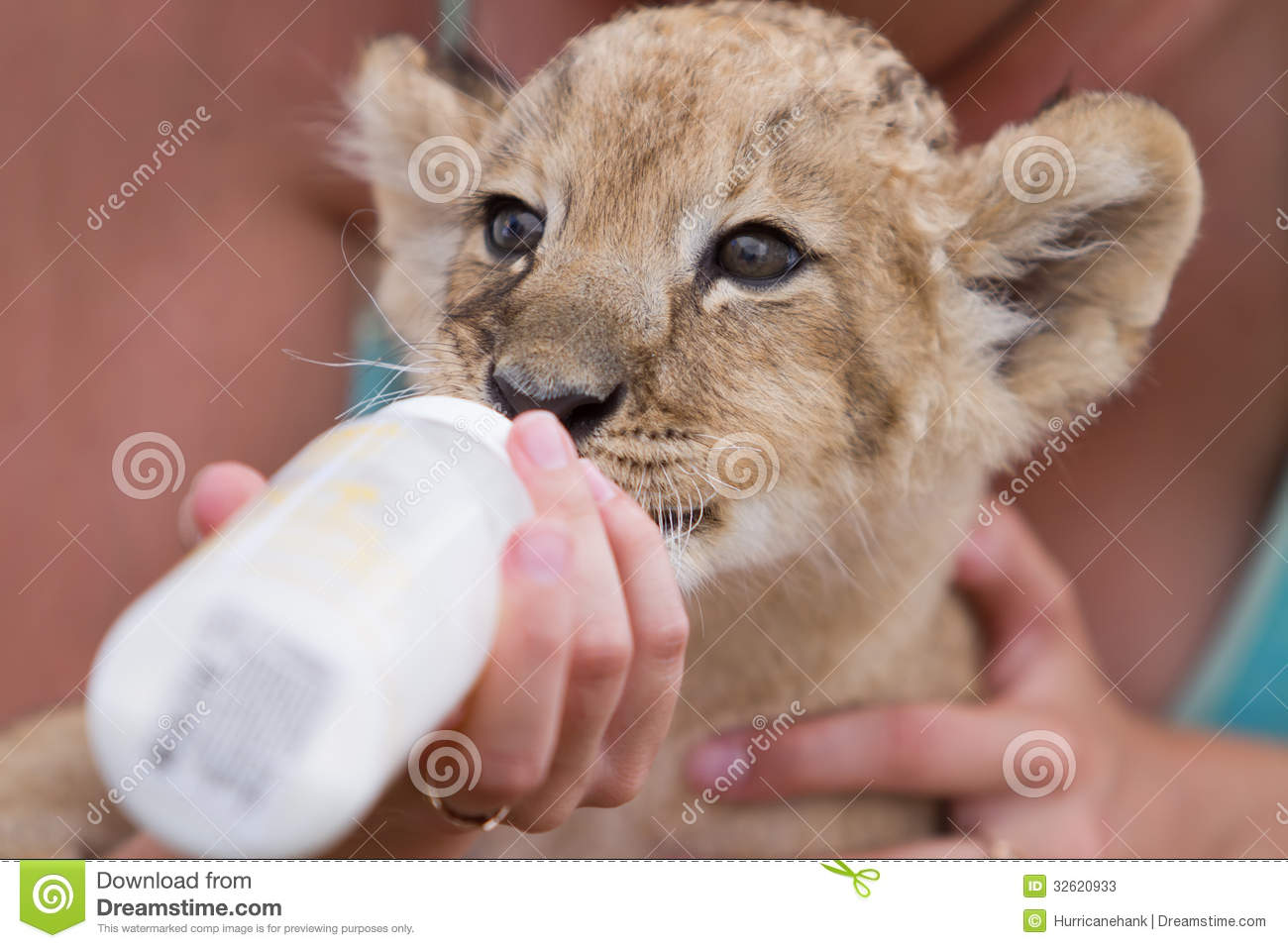 Little Lion Cub Drinking Milk Stock Image Image Of Male