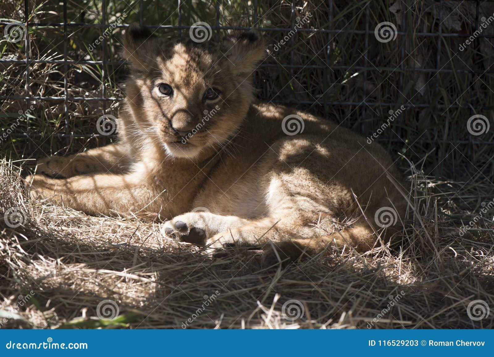The little lion lies on a grass