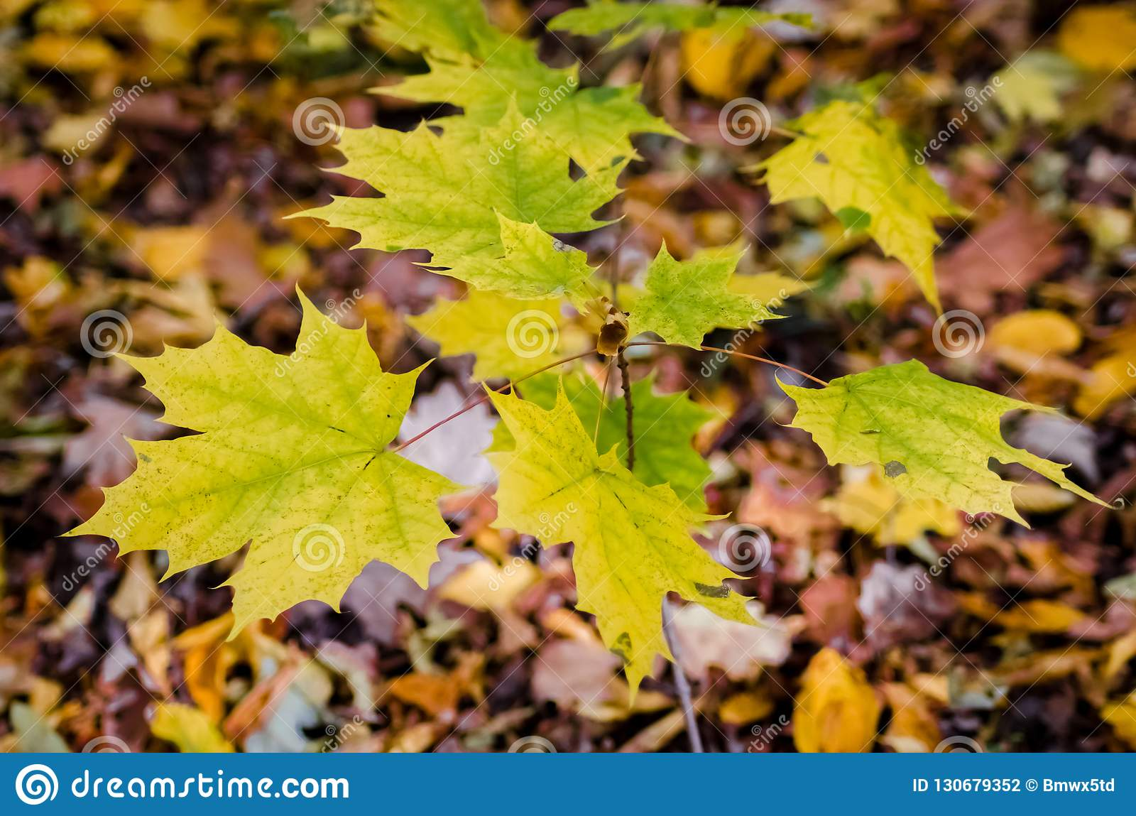 Little Maple Bush In Fall Foliage Stock Photo Image Of Bush