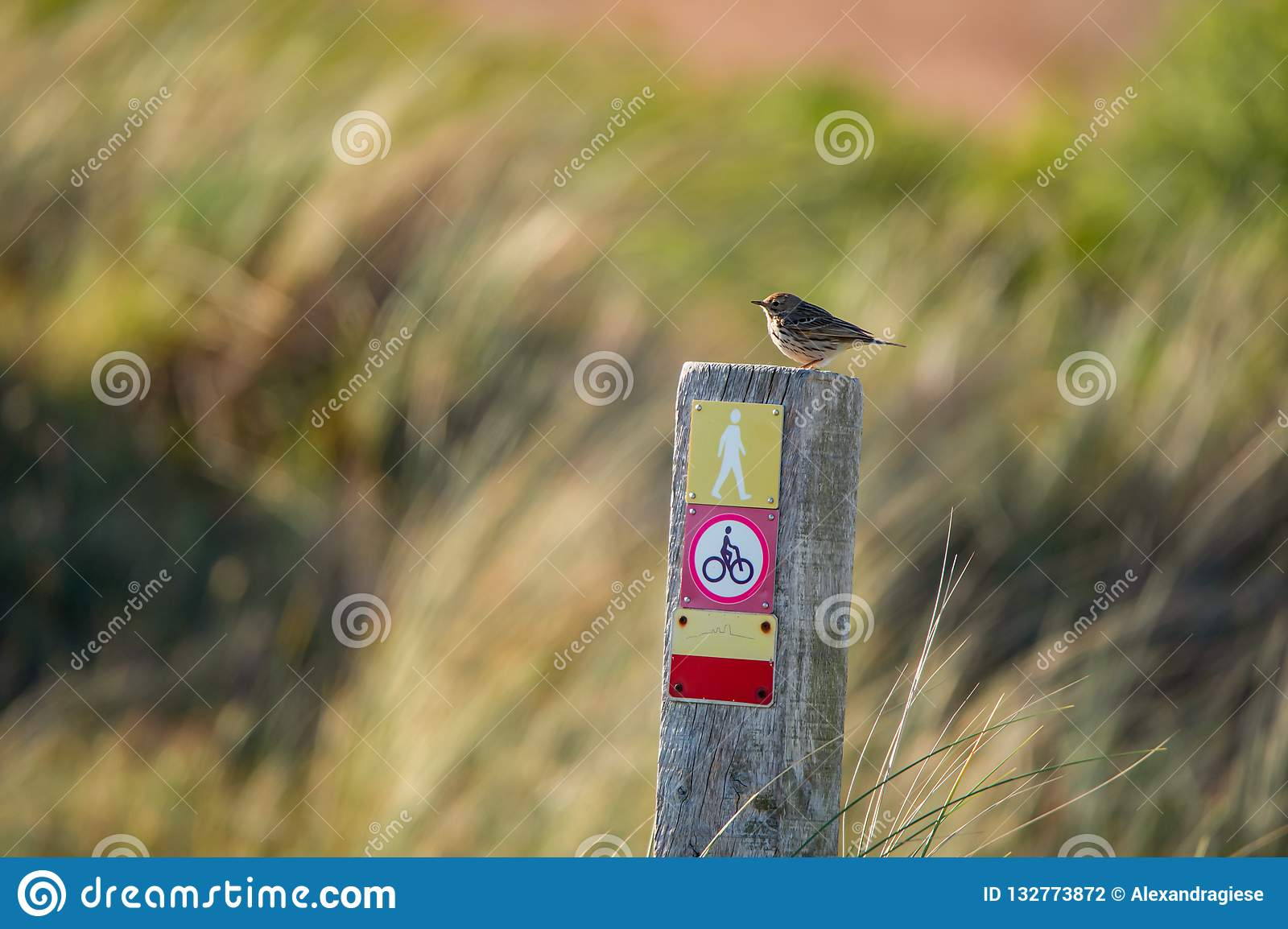 Little meadow pipit sitting on a wooden pile with icons on a colorful blurry background - Texel Netherlands