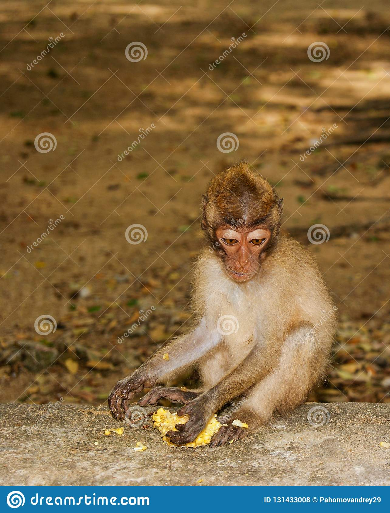 Long-tailed Macaque Monkey eat banana. sitting on the rocks