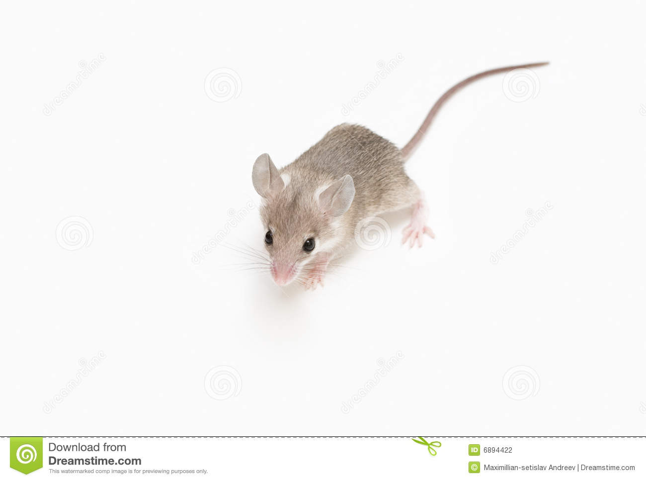 little mouse stock photography image 6894422