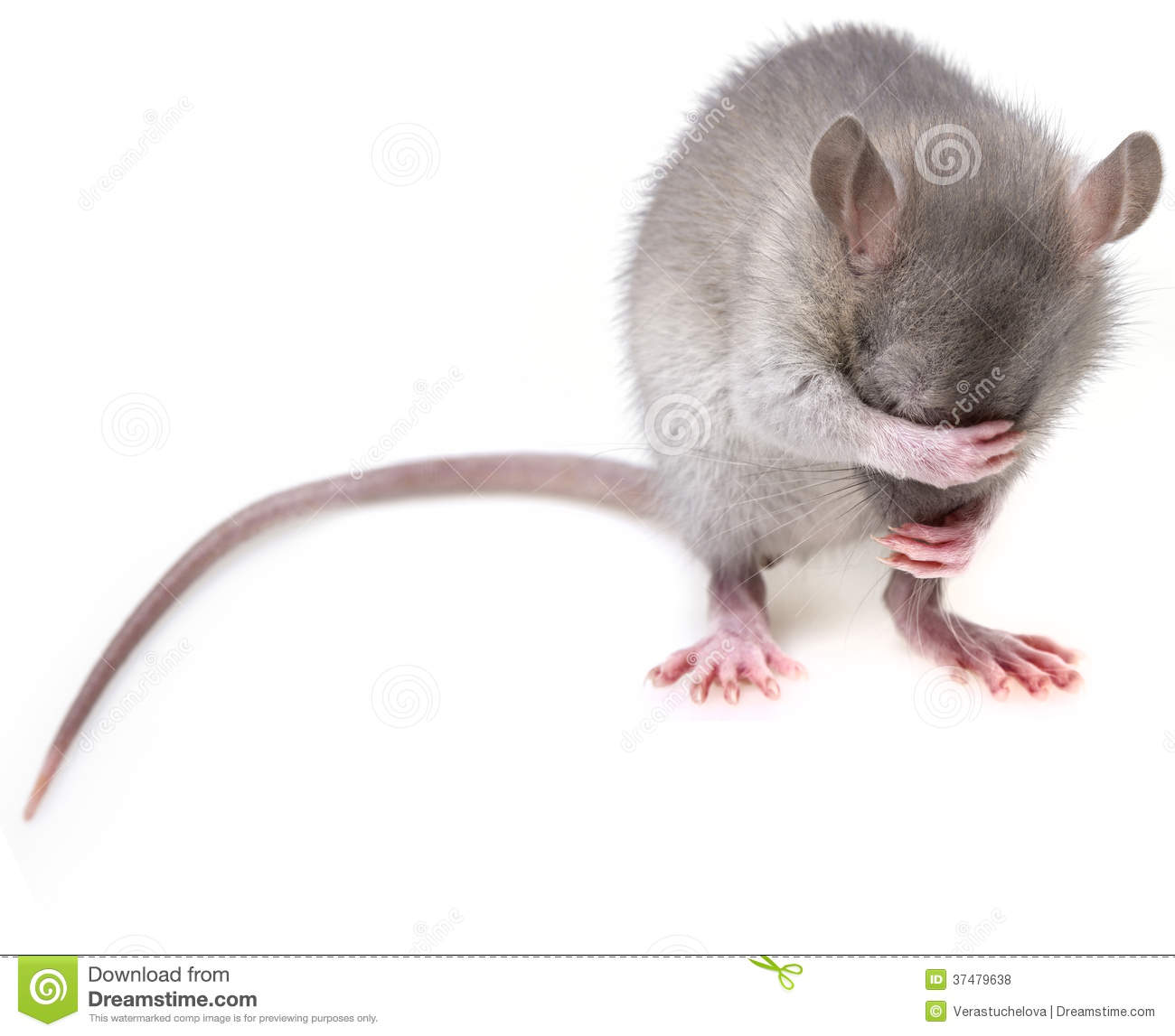 Little Mouse Royalty Free Stock Photos Image 37479638