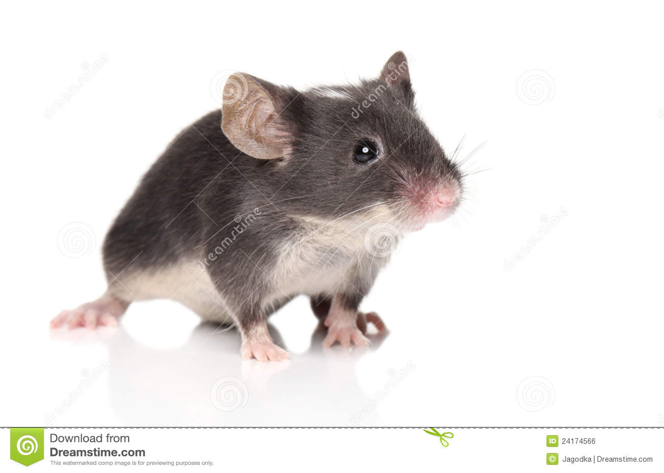 little mouse posing royalty free stock image image 24174566