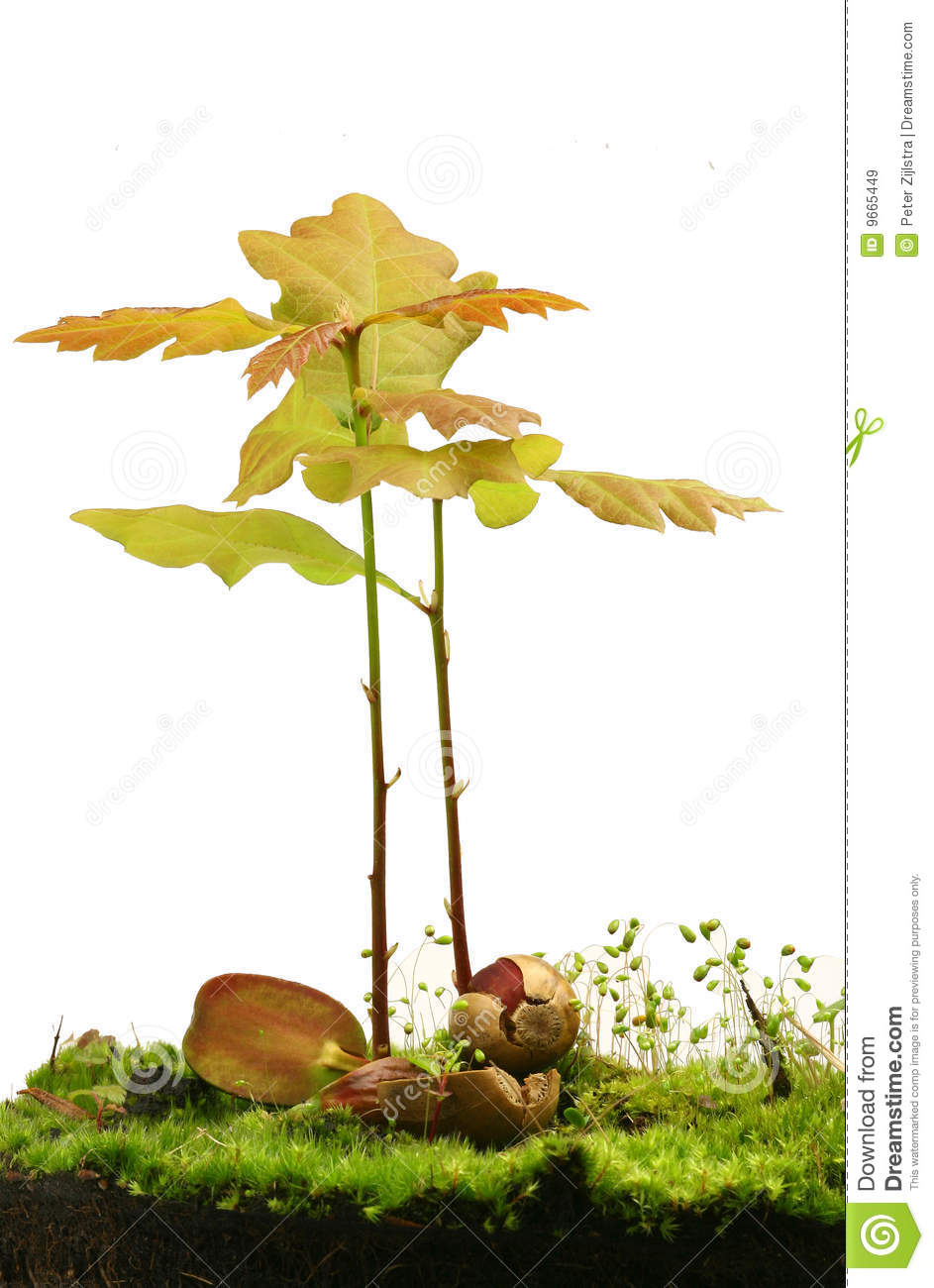 Planting An Oak Tree Best Time : Little oak trees growing from two acorns lying on the ground