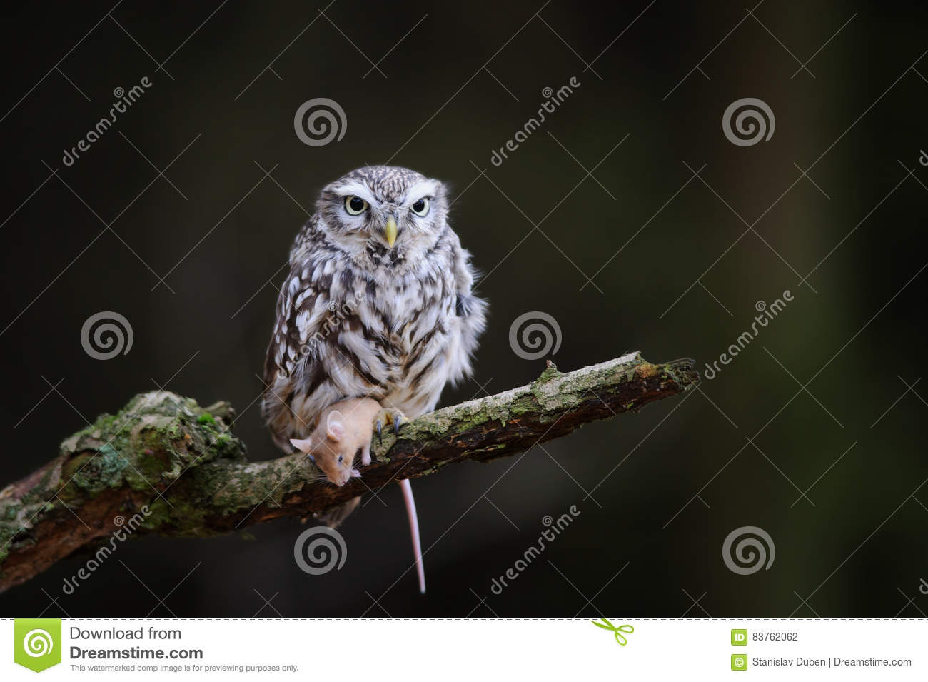 Little owl with hunted down mouse