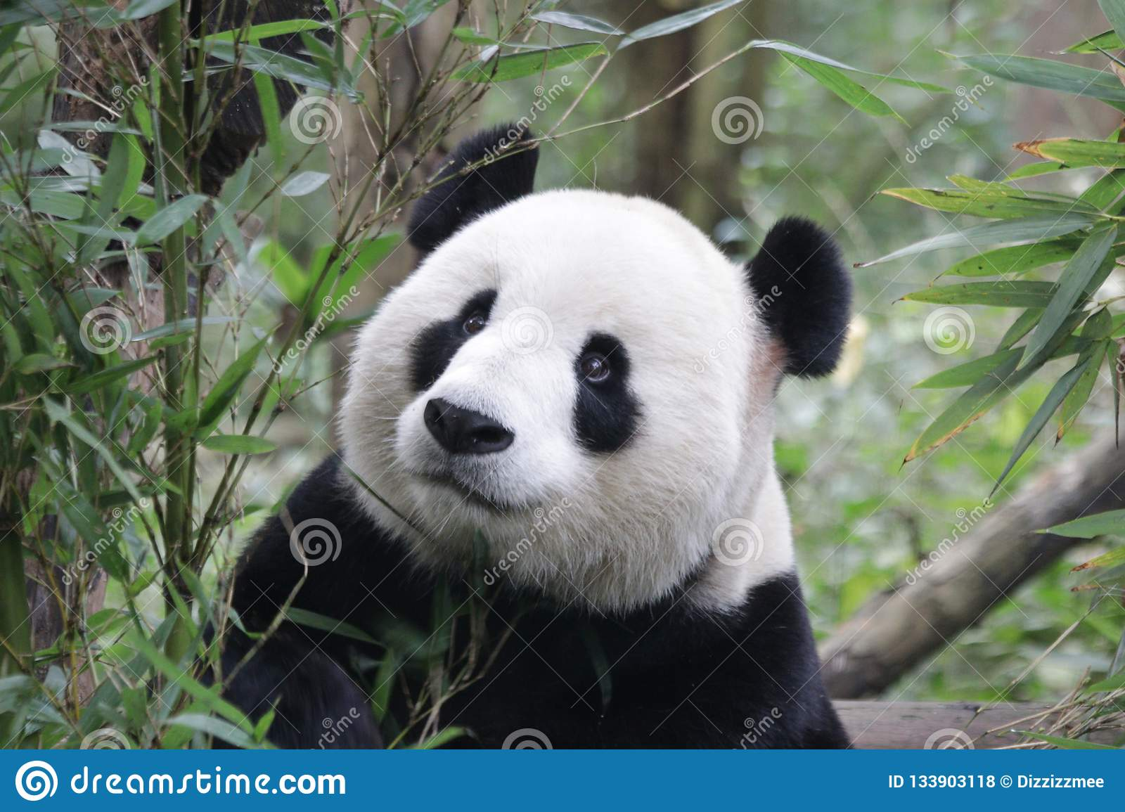 Little Panda Cub Is Chilling Out , China Stock Photo - Image