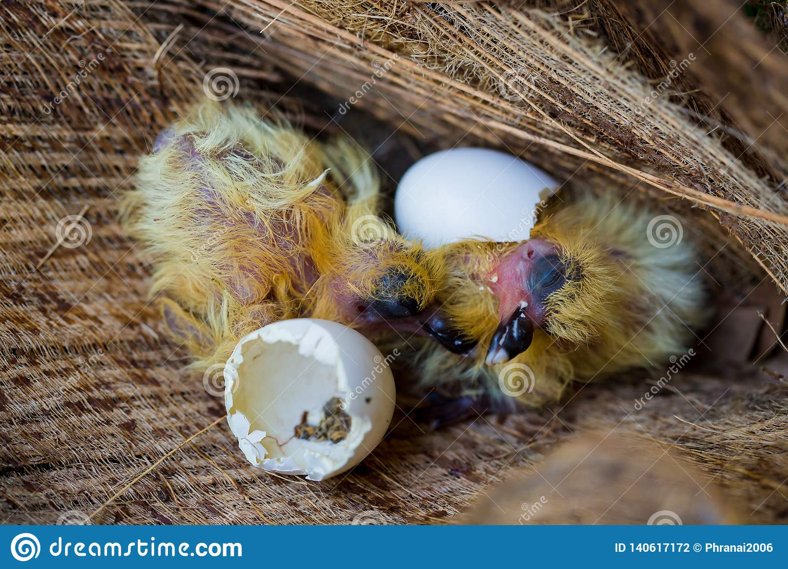 Little Pigeon In The Nest , Baby Birds Just Hatching From ...