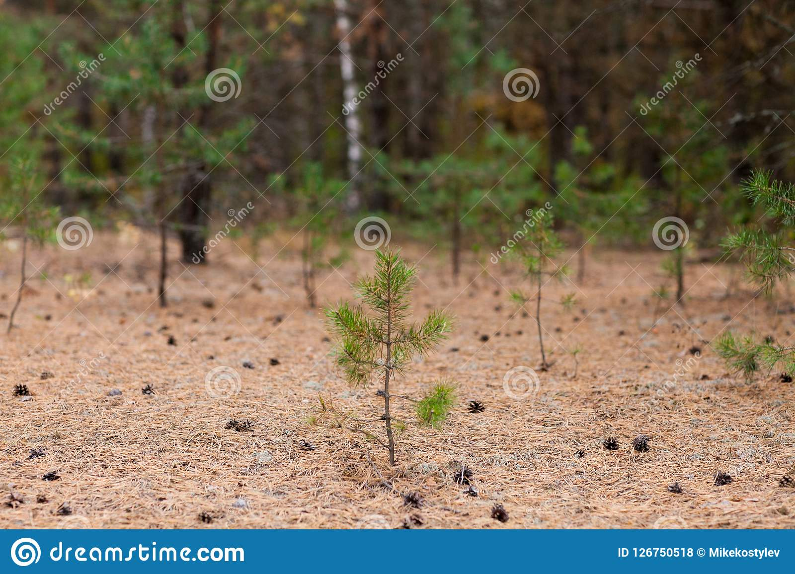 Little pine tree with cones at ground