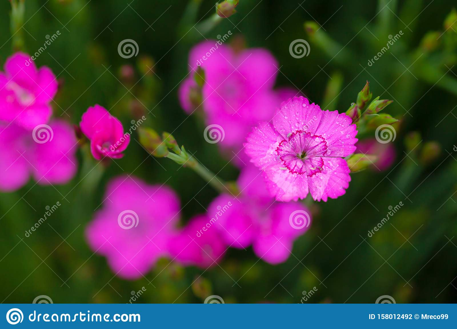 Little pink Dianthus flowers open