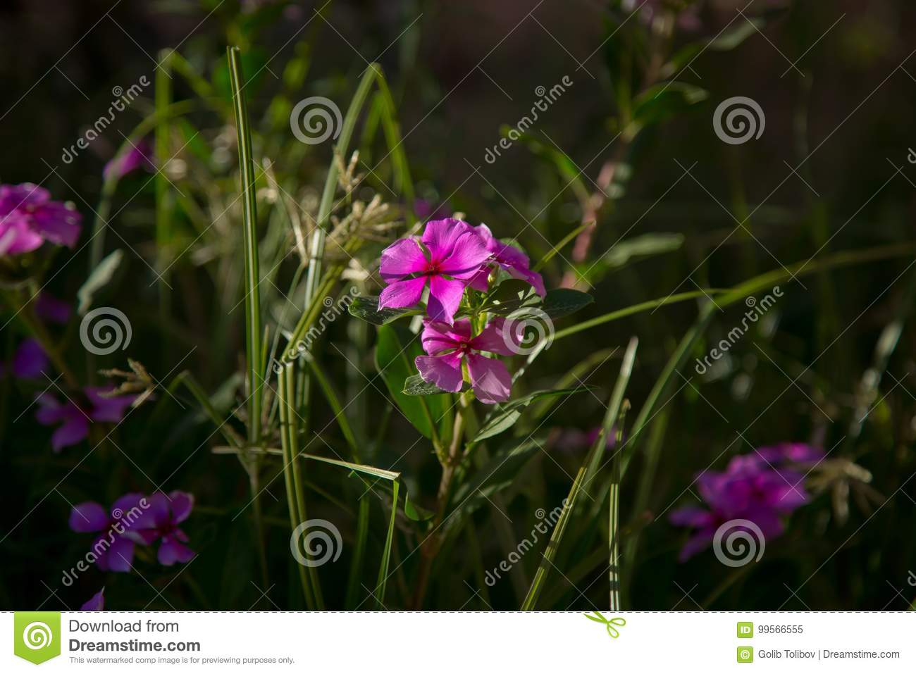 Close Up Small Pink Flower Stock Image Image Of Green 99566555