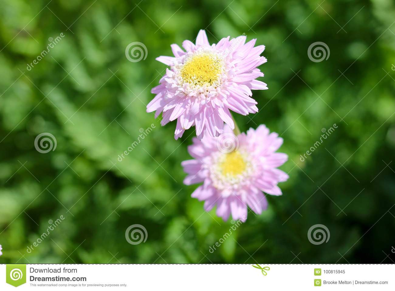 Little Pink Flowers With A Yellow Center Stock Image Image Of