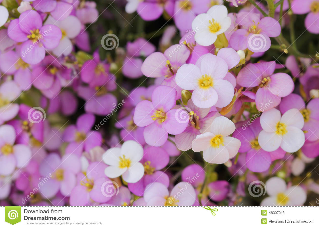 Little pink and white saxifrage flowers stock photo image of bloom download little pink and white saxifrage flowers stock photo image of bloom leaf mightylinksfo