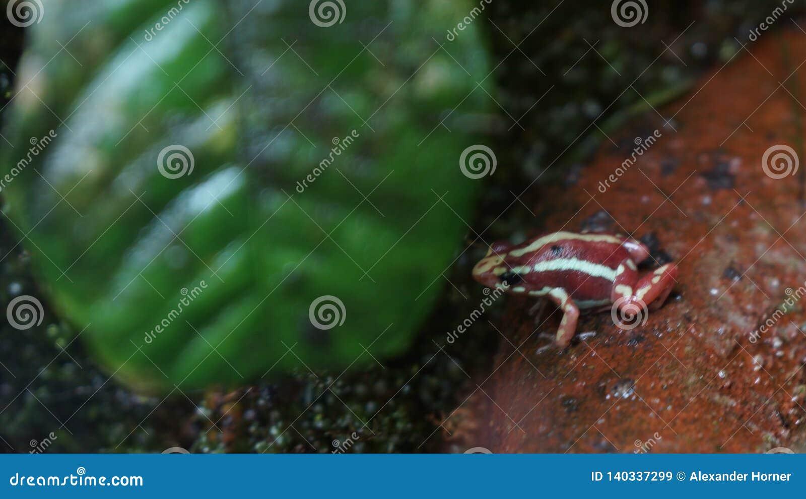 Little poison dart frog in front of leaf