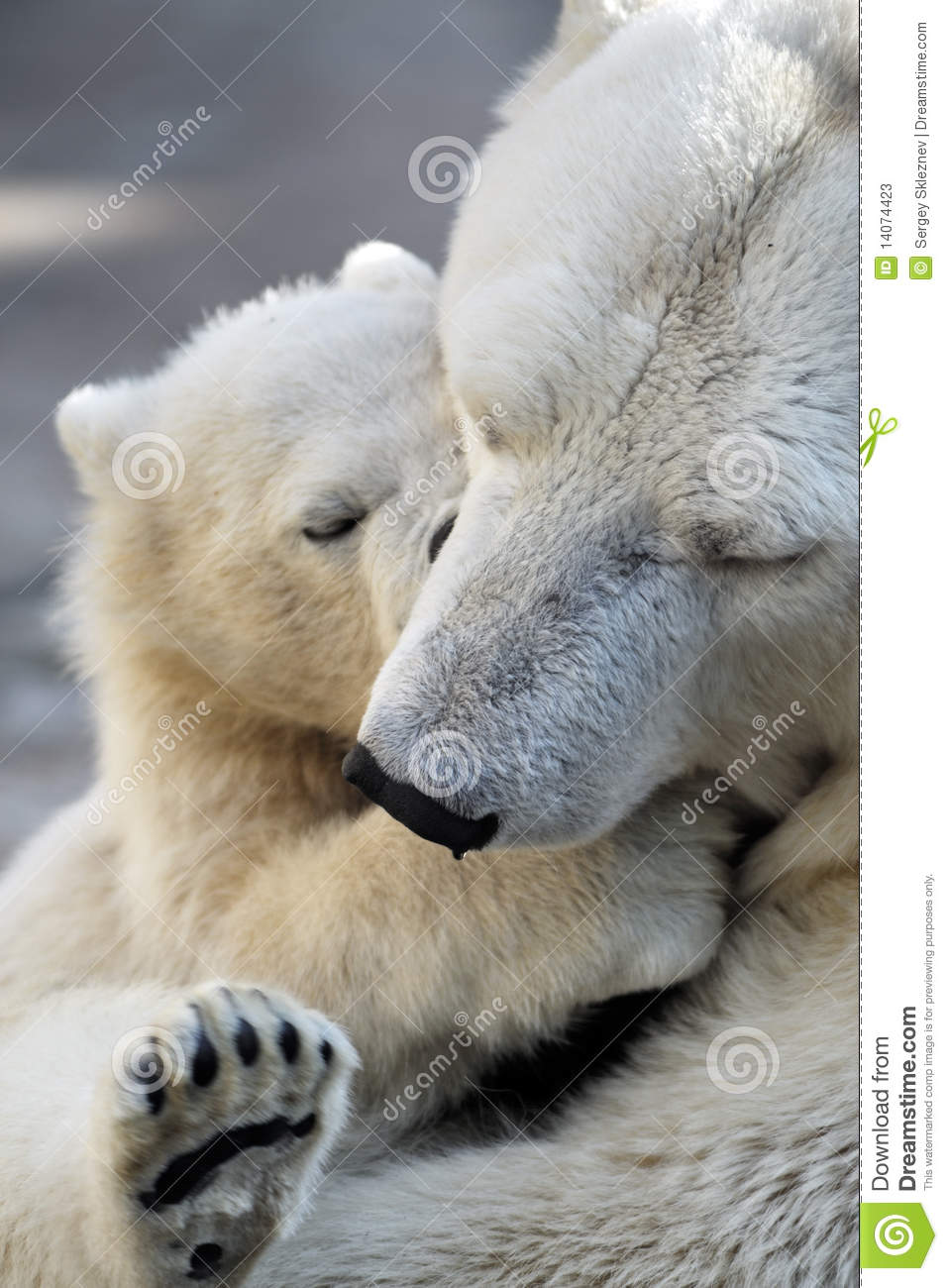 Download Little Polar Bear Cub Playing With His Mom Stock Image - Image of predator, mammal: 14074423