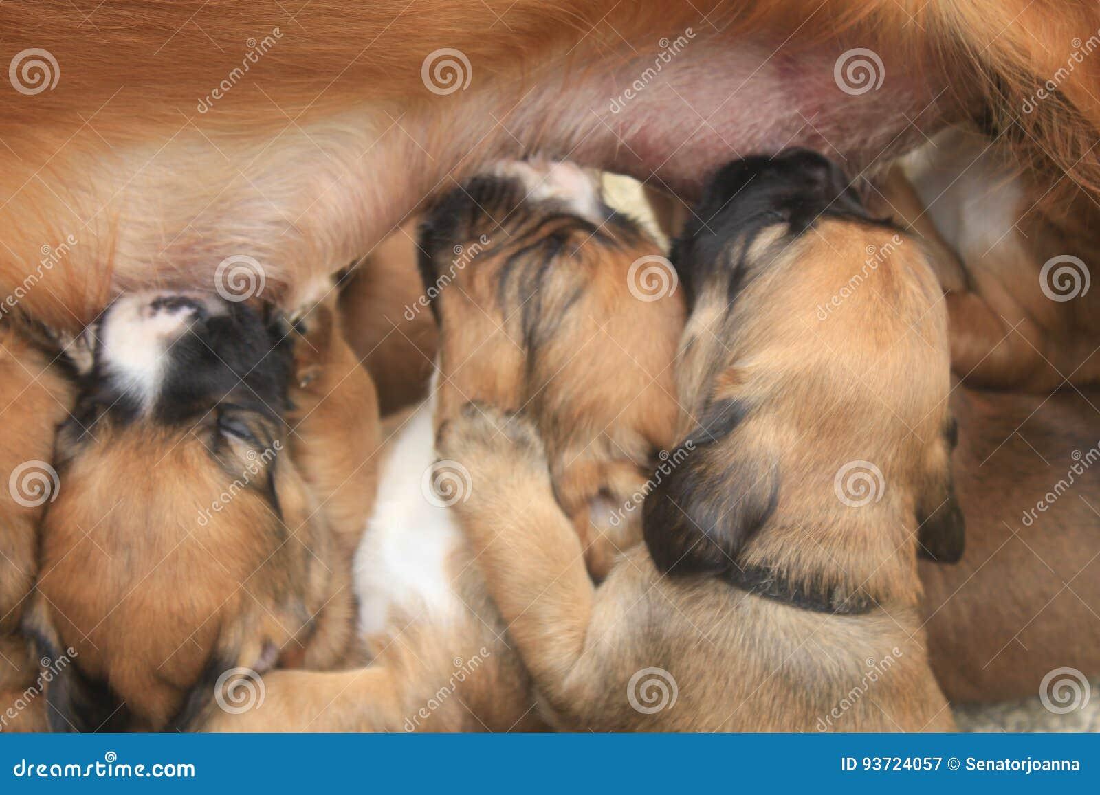 Little Puppies Nursing Stock Image Image Of Motherhood 93724057
