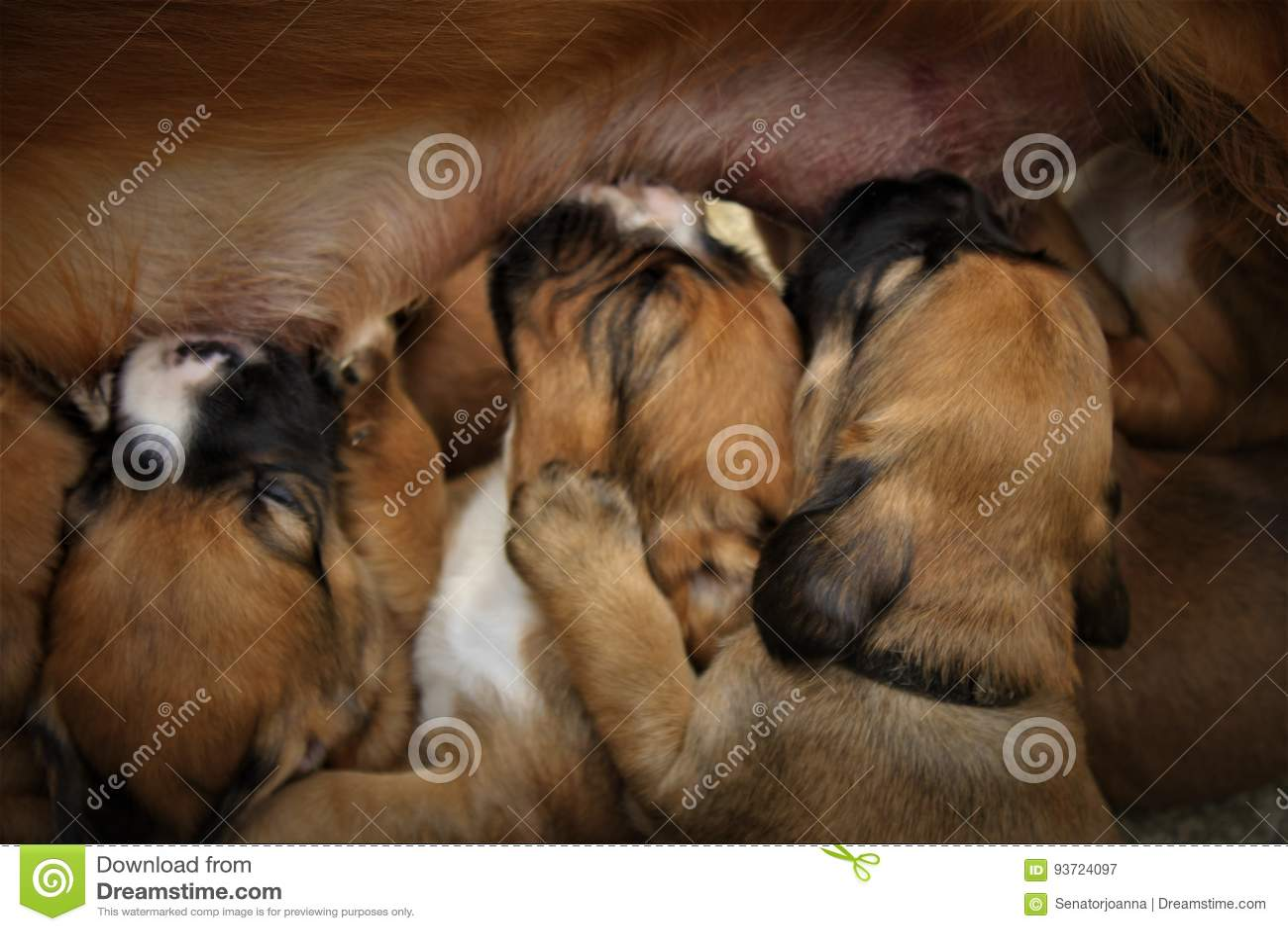Little Puppies Nursing Stock Image Image Of Cocker Breast 93724097