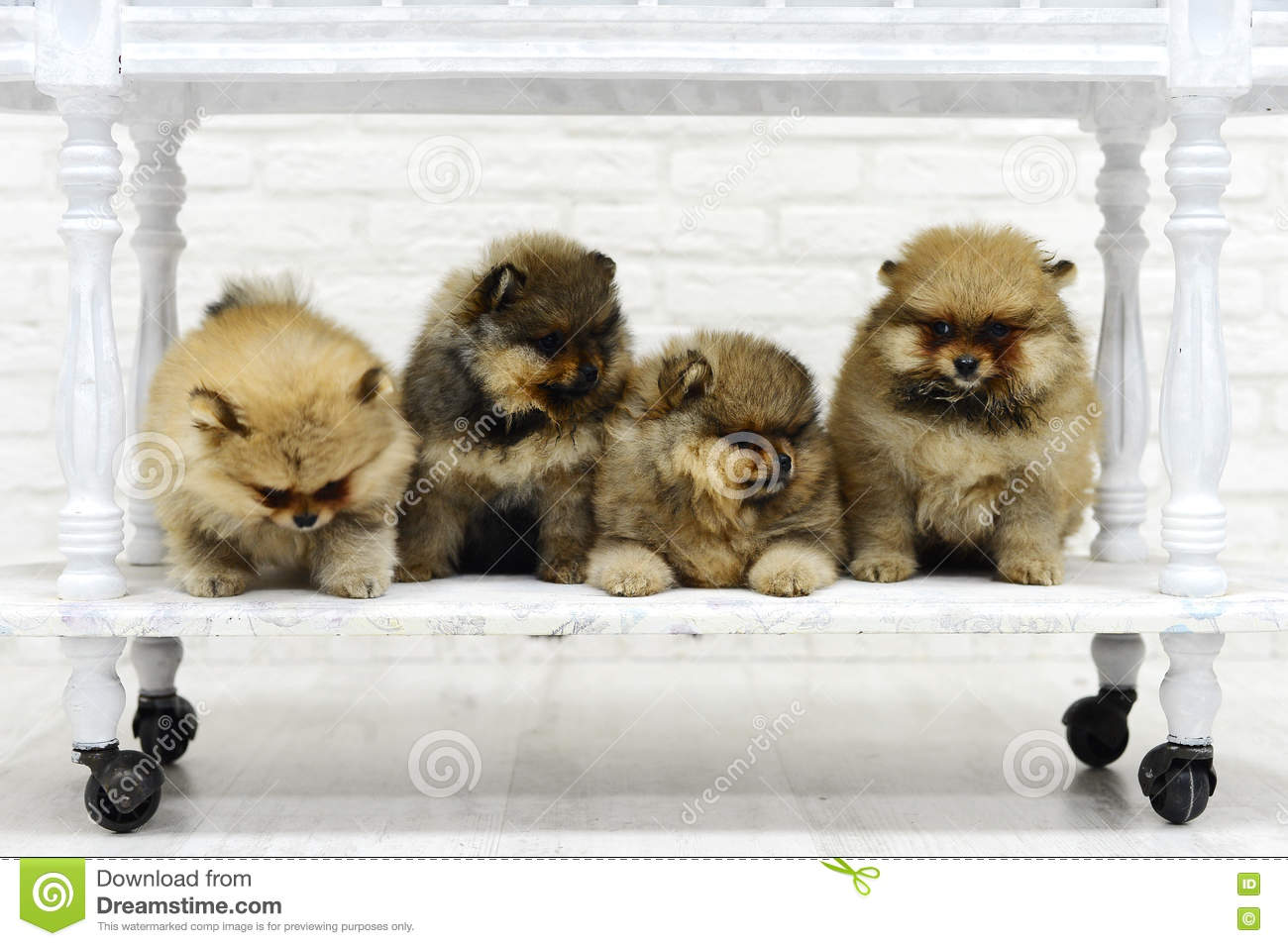 Little puppies Spitz playing in Studio on white background