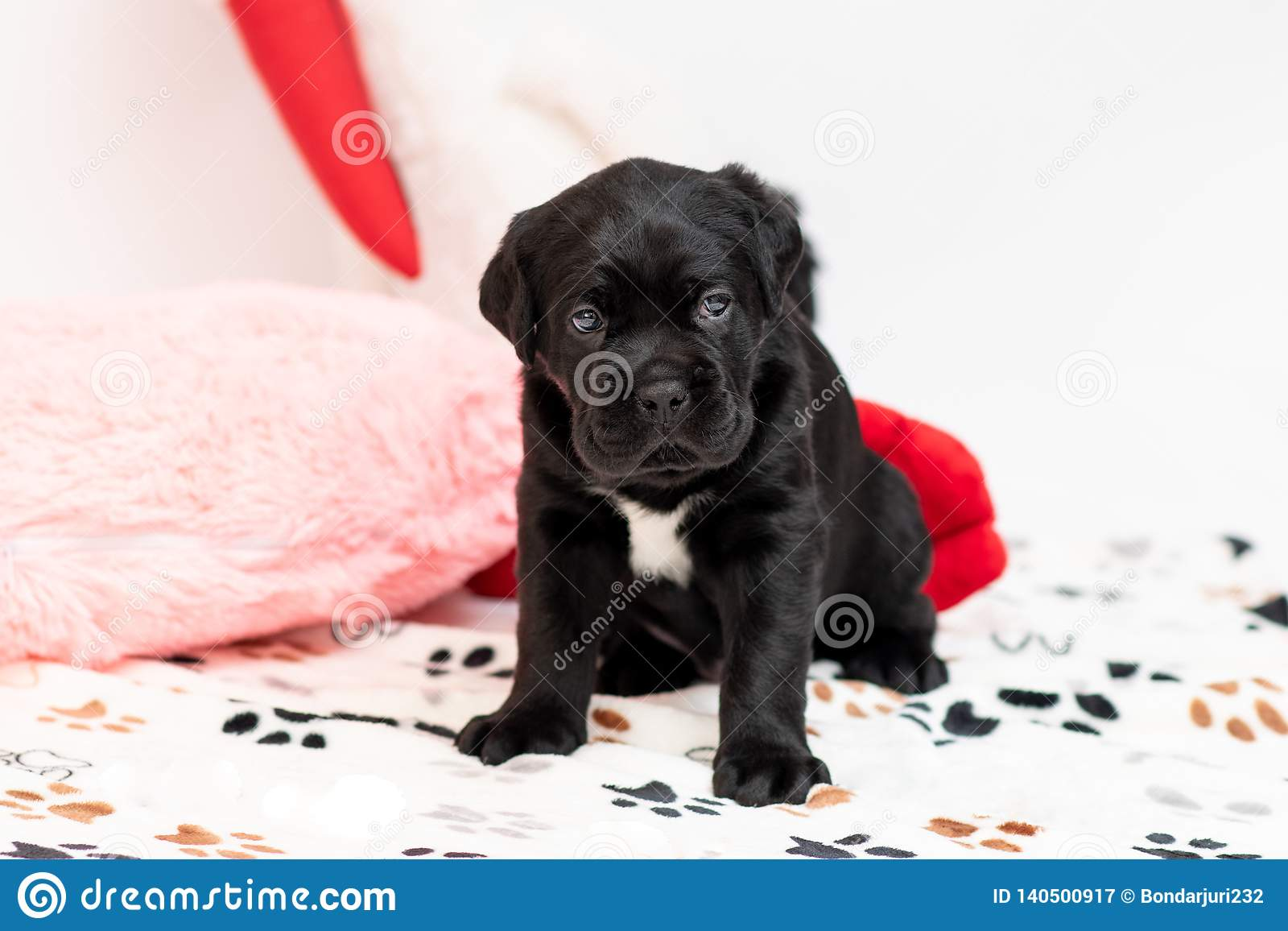 Little Puppy Breed Cane Corso This Is A Large Massive Energetic Well Built Dog Stock Image Image Of Little Animal 140500917