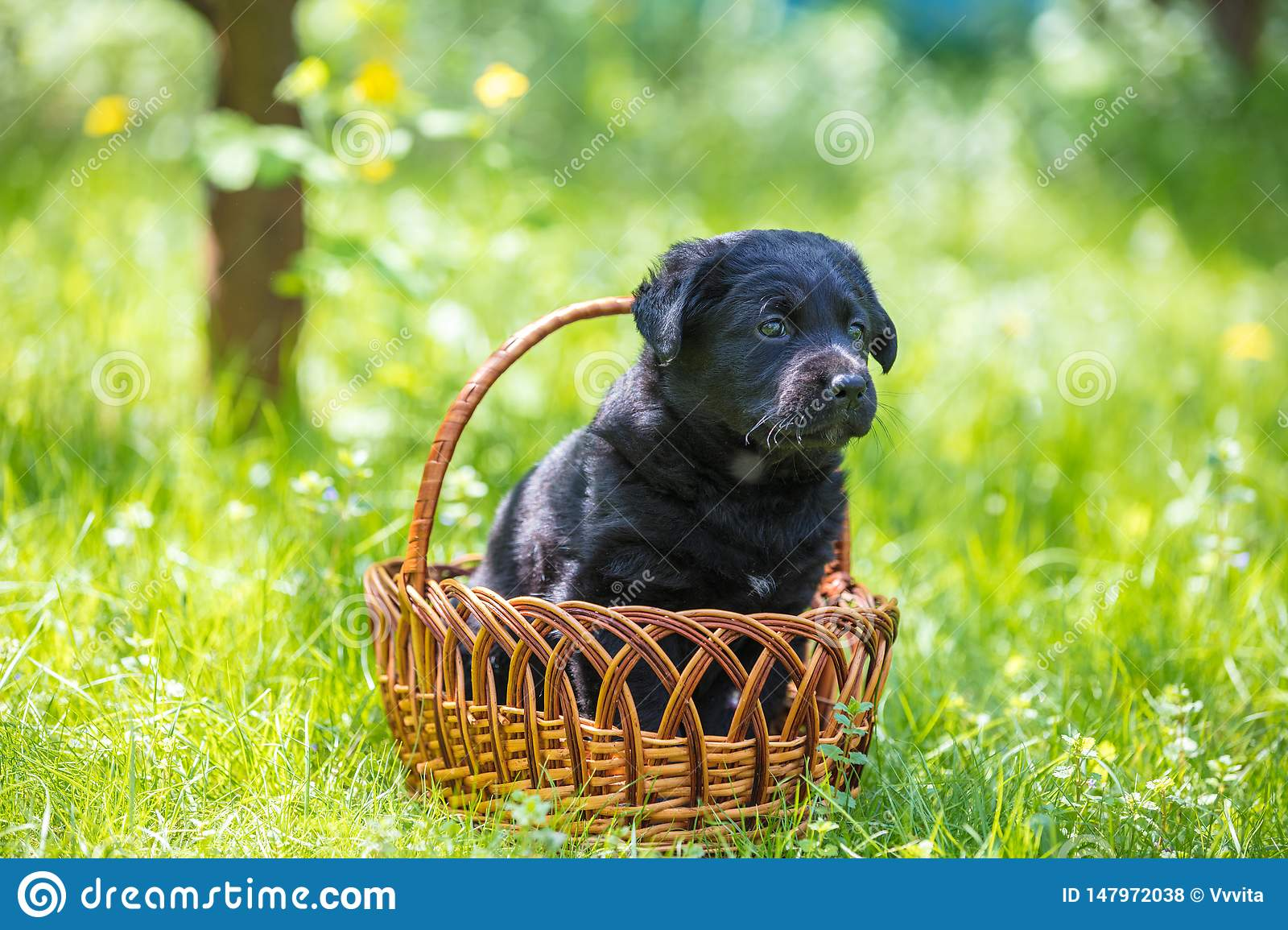 Little puppy sits in a basket on the grass