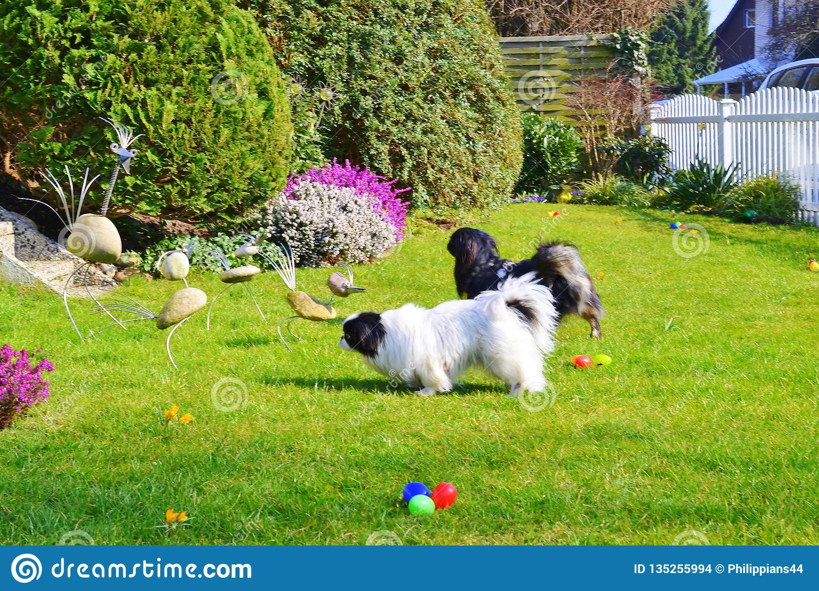 Adorable Pekinese couple, white and black, short and long hair breed playing together in garden, Pekingese dog puppy
