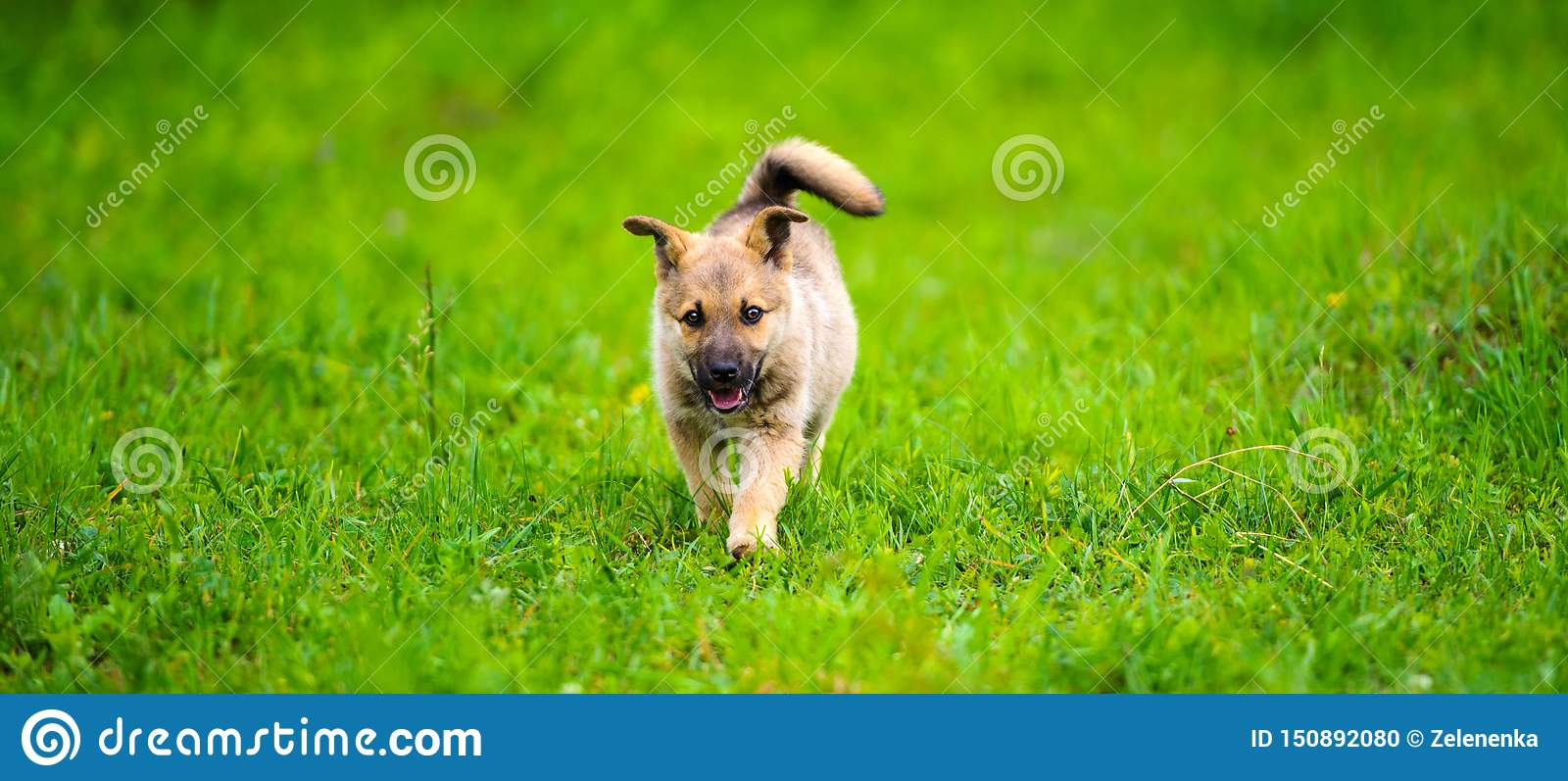 little puppy is running happily with floppy ears trough a garden with green grass