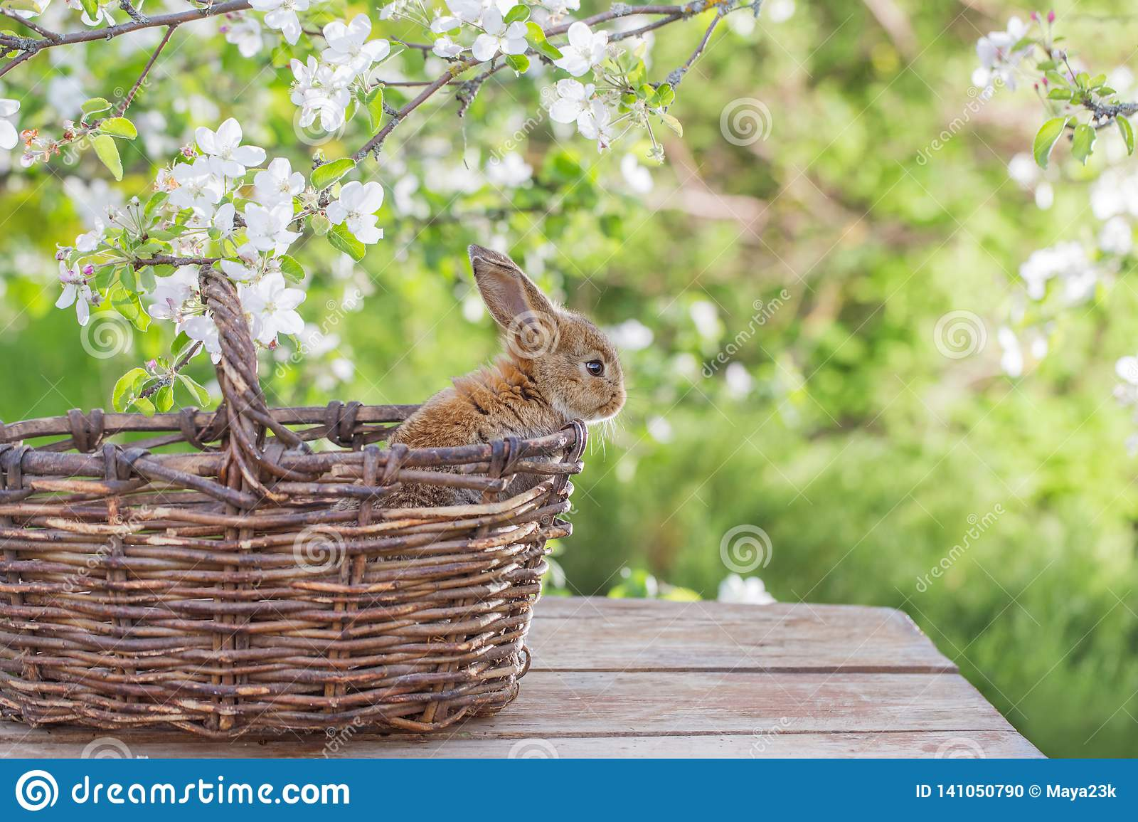 Little rabbit in spring orchard