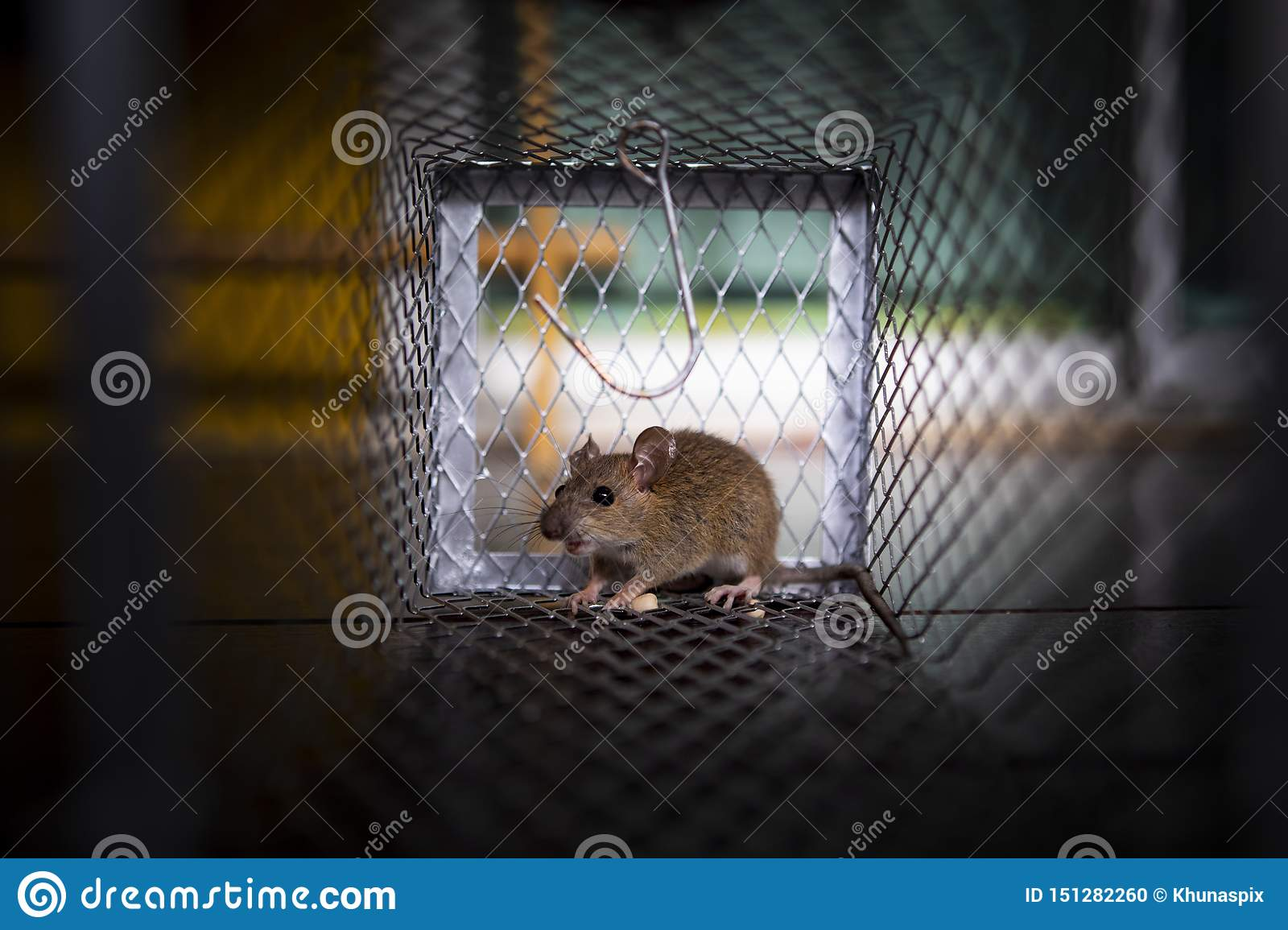 A little rat traped  in mousetrap