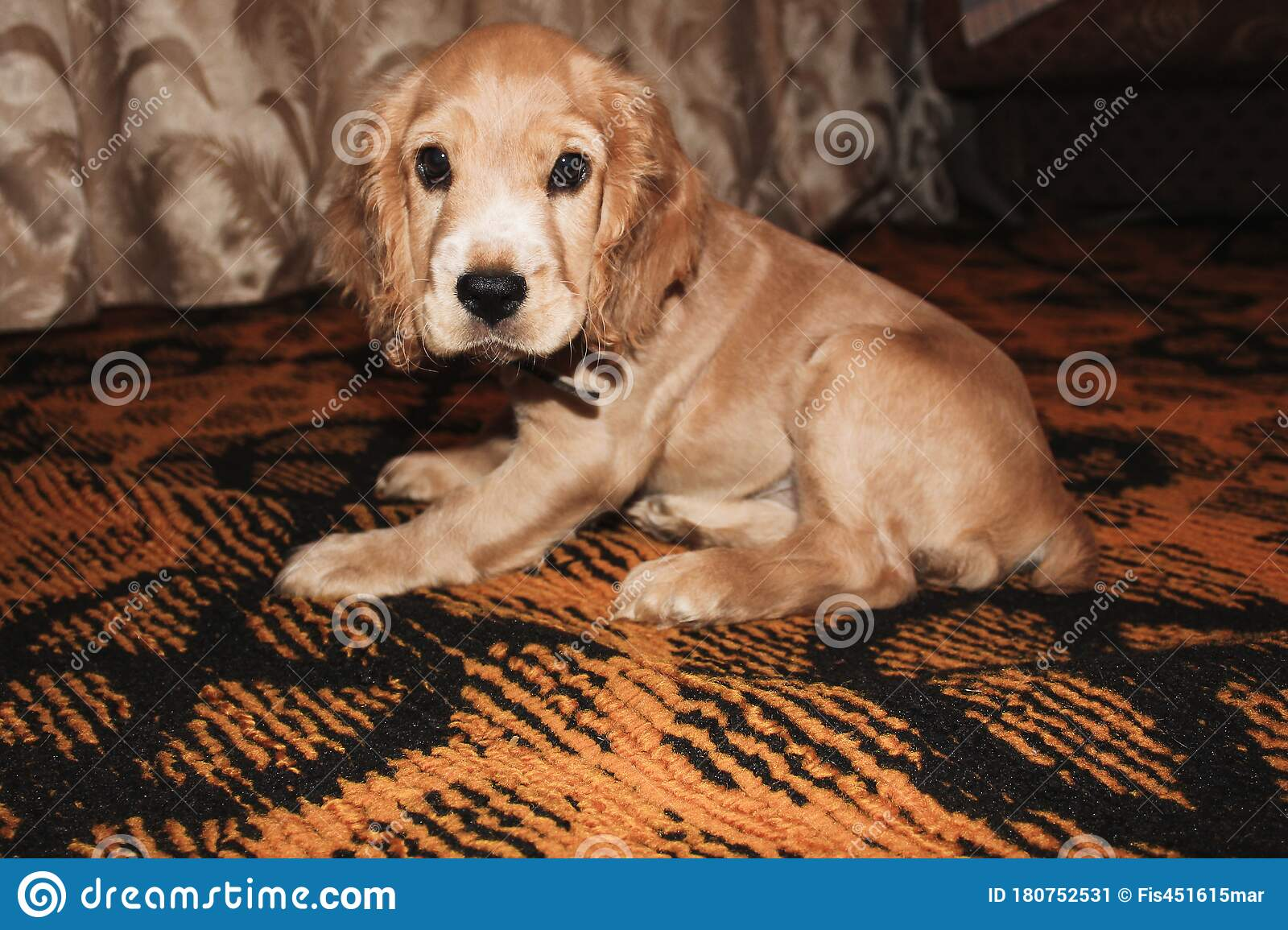 Little Red Cocker Spaniel Puppy Lies And Plays Stock Image Image Of English Golden 180752531
