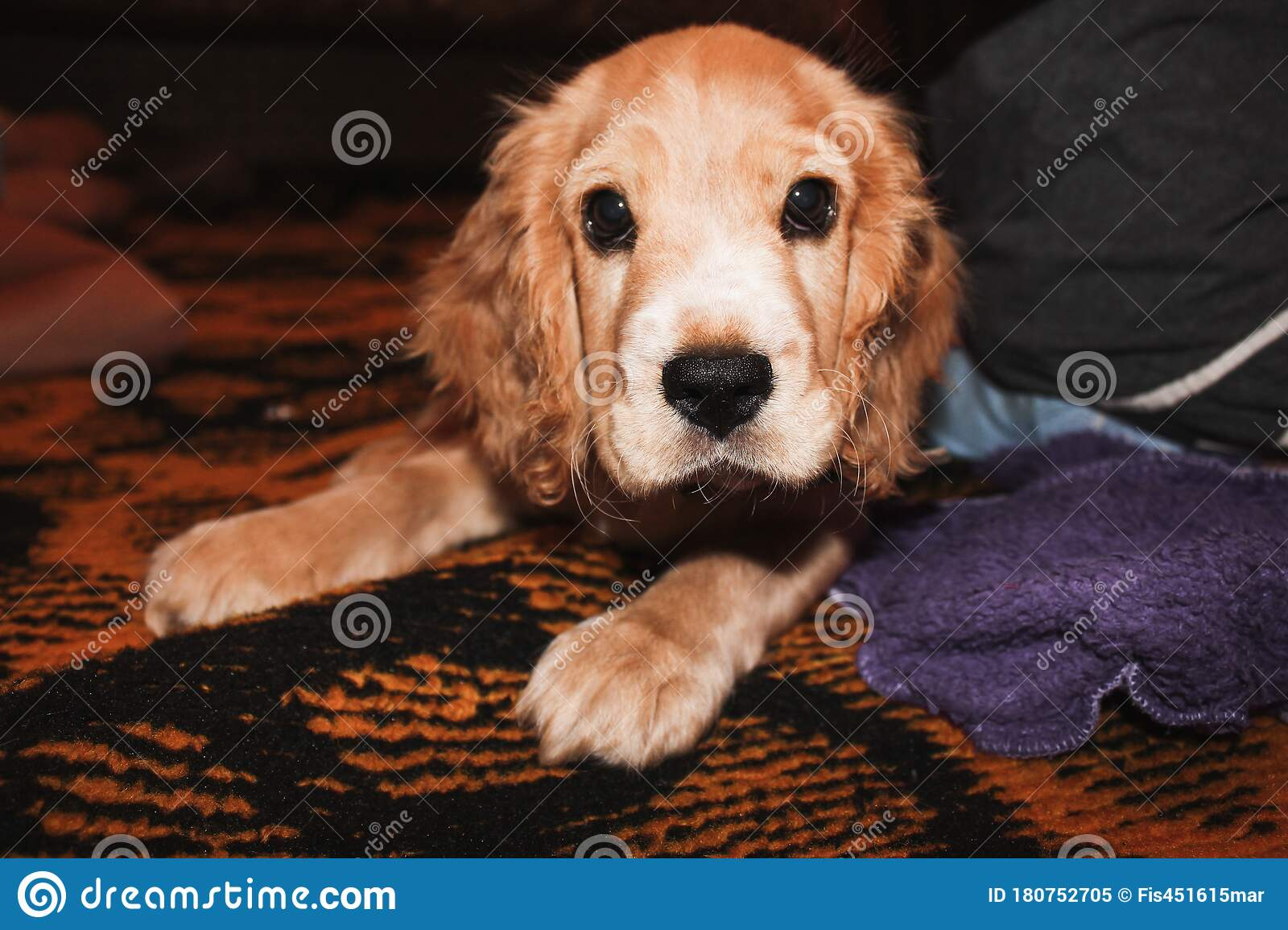 Little Red Cocker Spaniel Puppy Lies And Plays Stock Image Image Of Obedient Looking 180752705