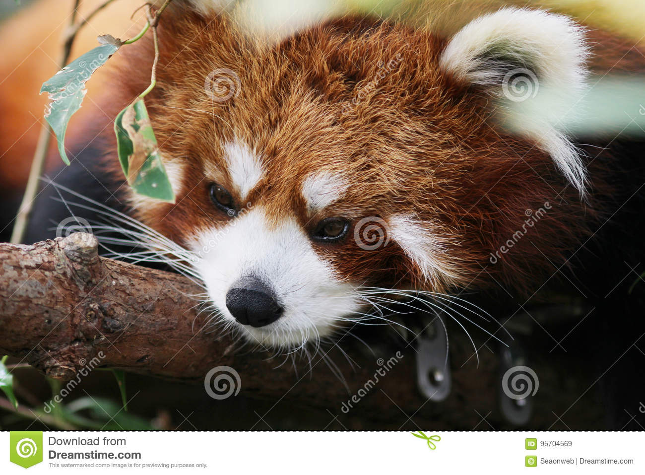Image of: Endangered Species Little Red Panda Endangered Species Dreamstimecom Little Red Panda Endangered Species Stock Image Image Of Unique