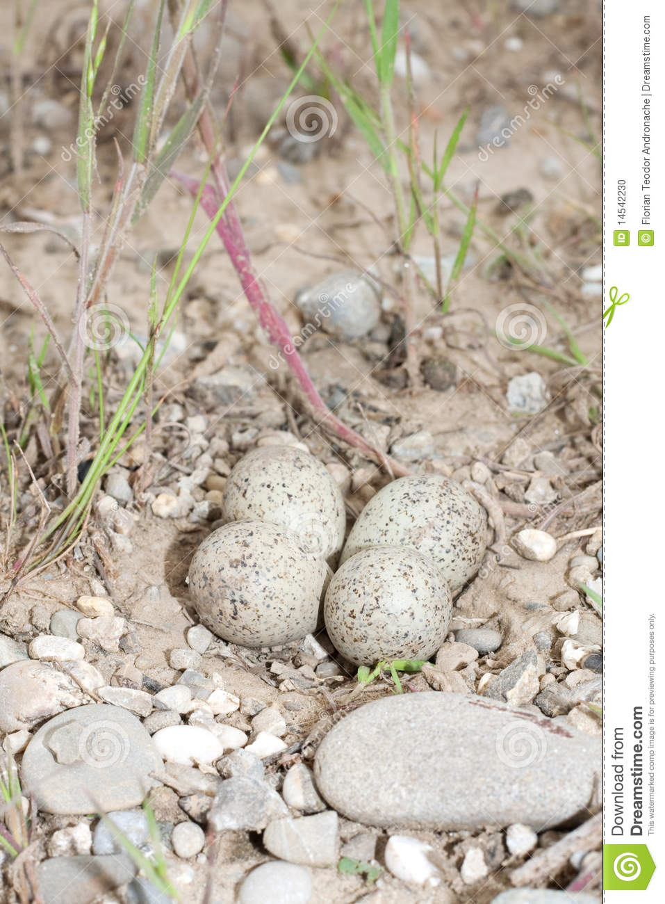 Ringed Plover Eggs And Nest