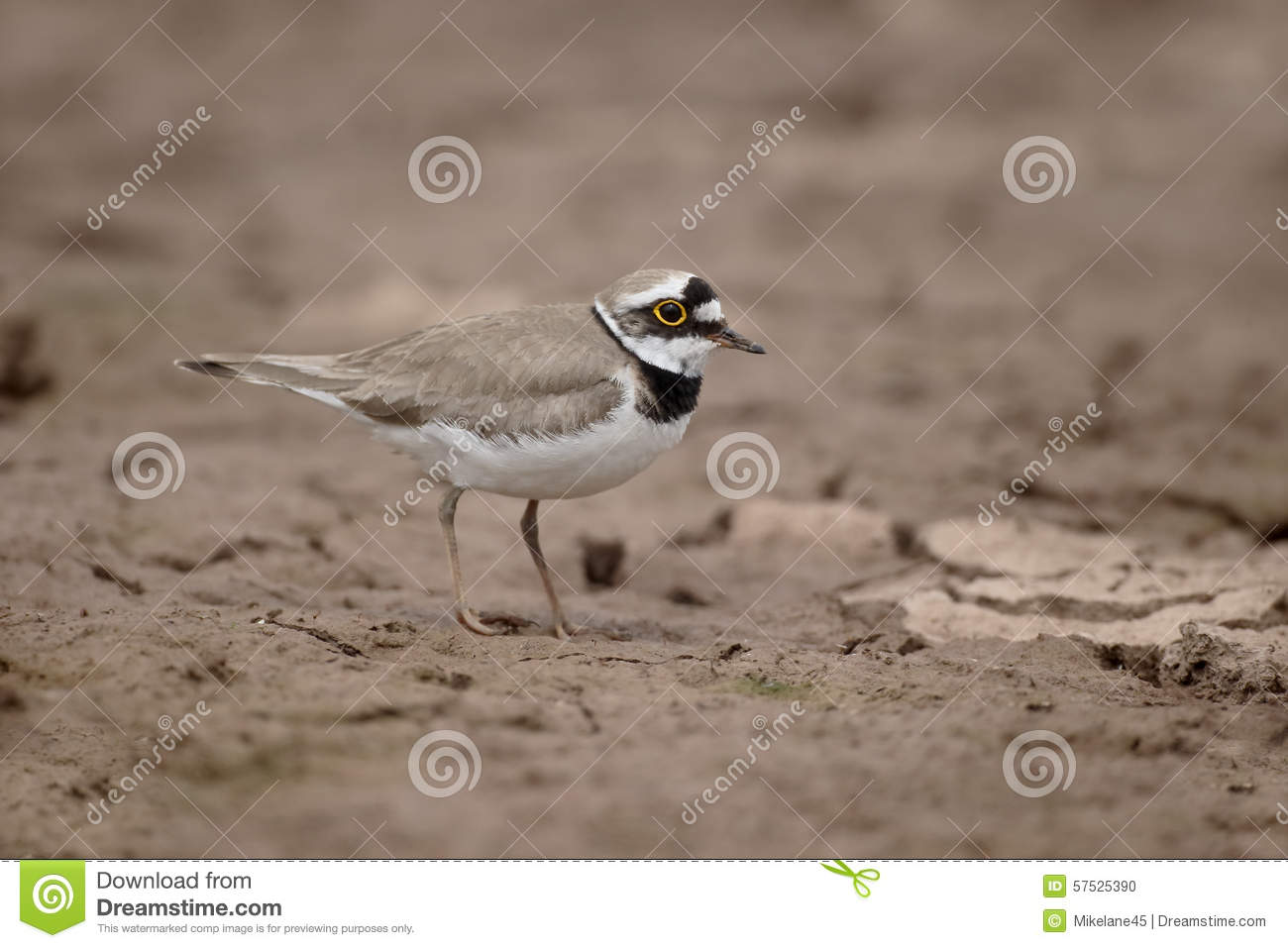 meet plover singles Forbes's plover jump to navigation  white supercilia extending from above the eyes to meet on the back of the neck,  forbes's plover is often seen as single.