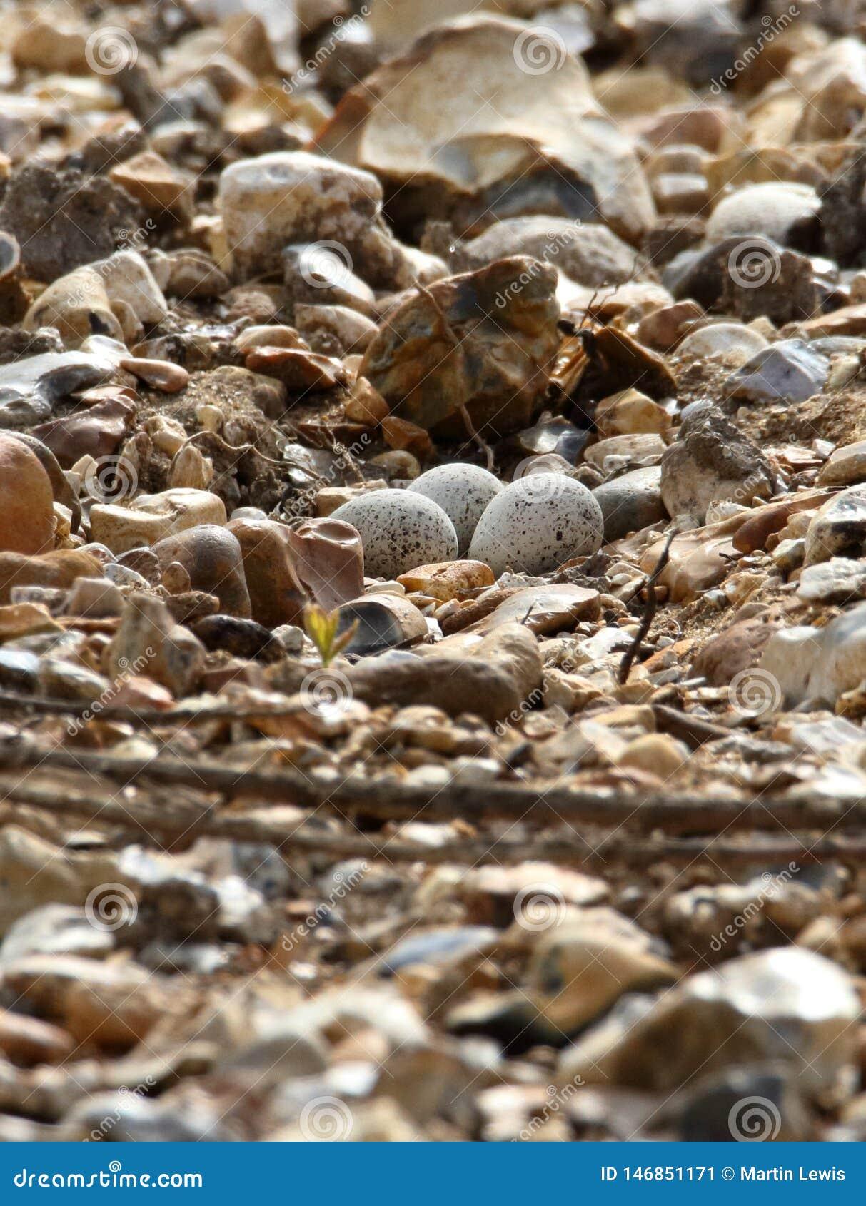 Little Ringed Plover Eggs