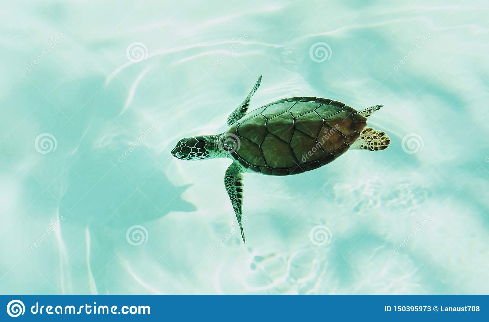 Little Sea Turtle Diving In Shallow Water. Turtle In