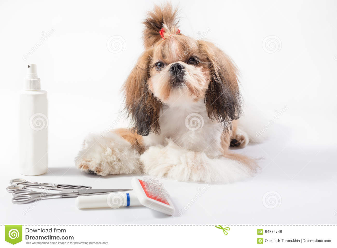 Little Shih Tzu Puppy With Topknot Stock Photo Image Of Girl