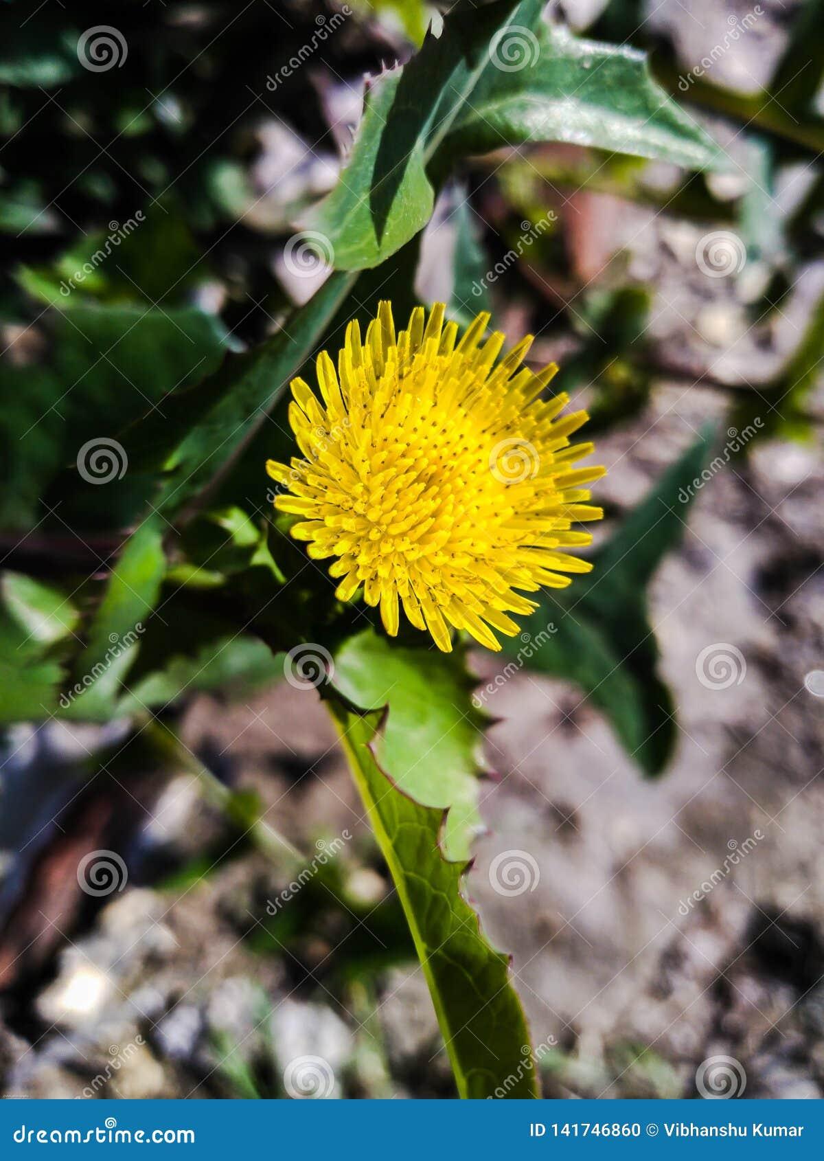 Little Spiny sowthistle flower wallpaper.