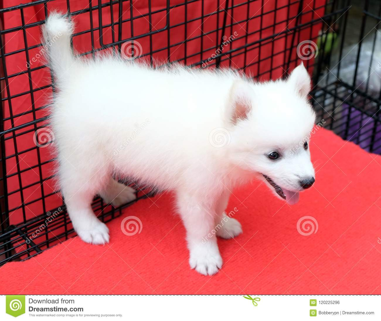 Little spitz for sell standing in dog cage.