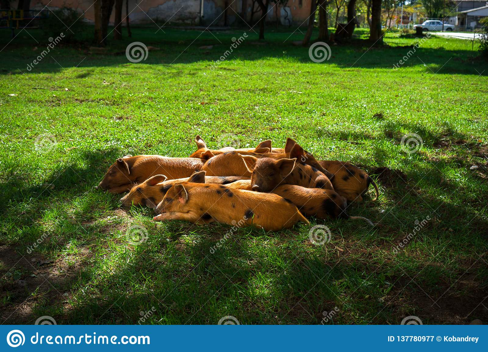 Little spotted piglets lie on the grass on a Sunny day