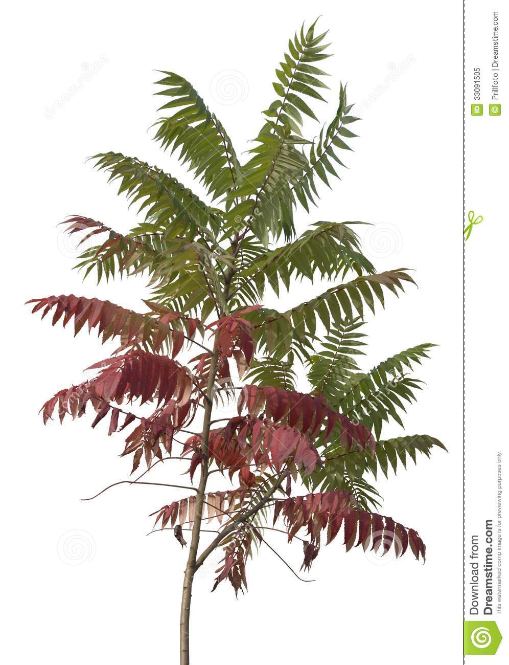 Temperate Climate Permaculture: Permaculture Plants: Sumac