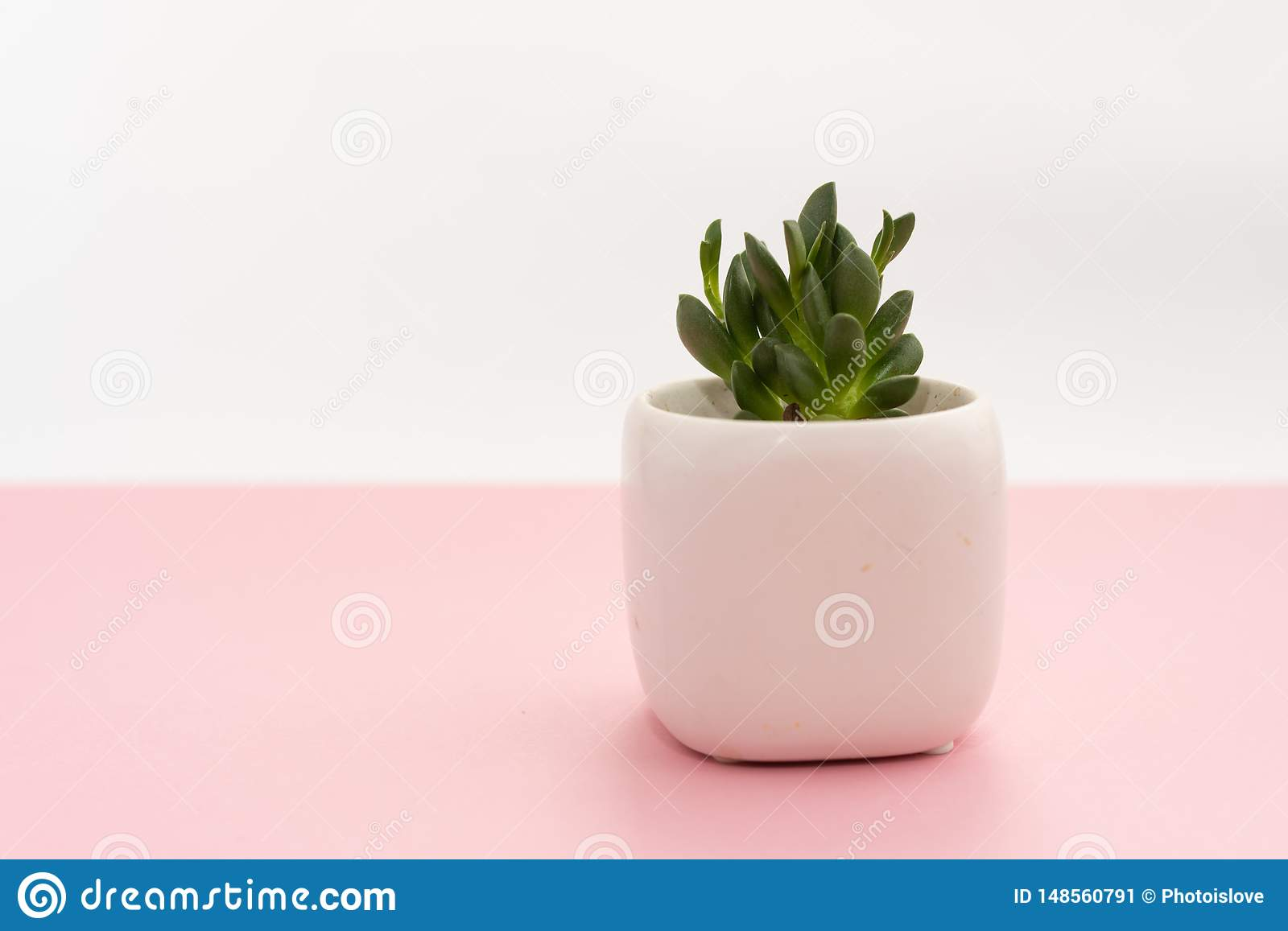 Little succulent plant in a white pot on a pink and white background. Design concept. Copy space mockup