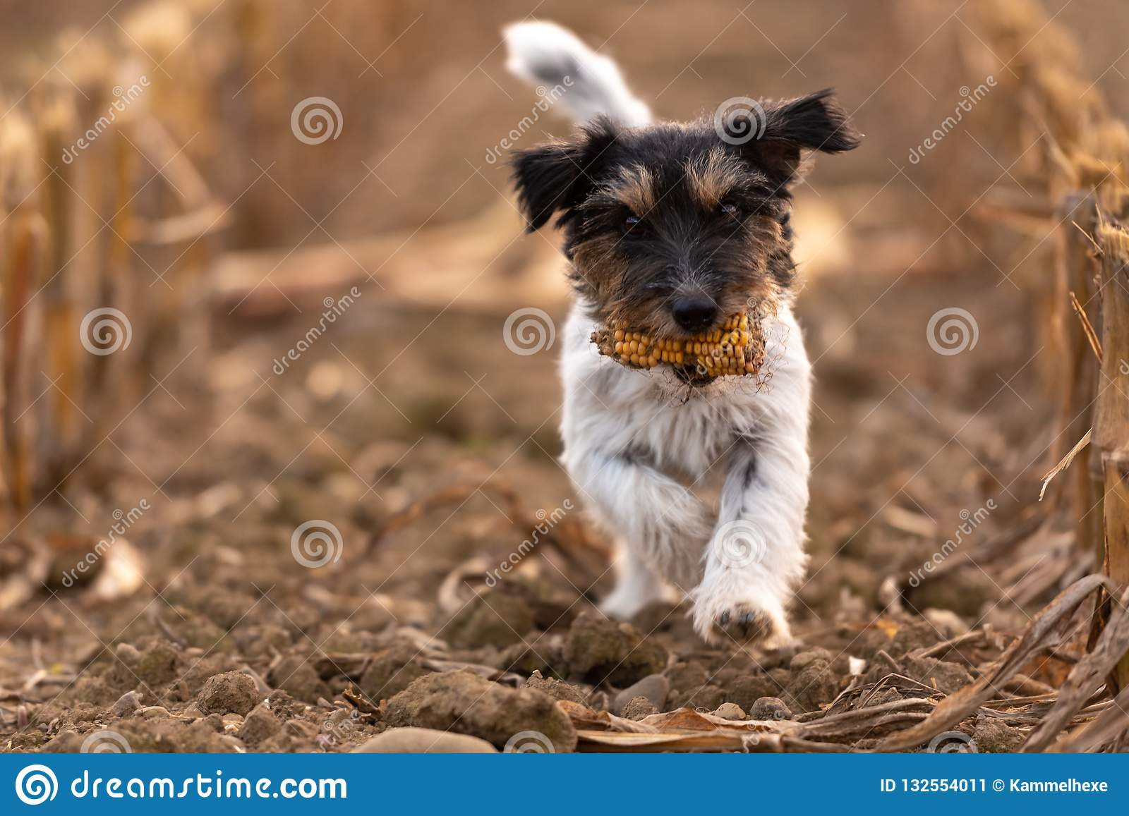 Little sweet shaggy Jack Russell Terrier is carrying a corncob and is running over a field