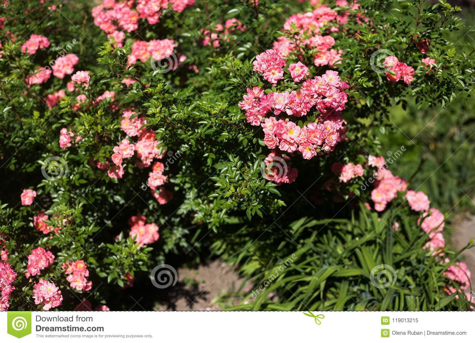 Little tea roses on bush stock image image of blossom 119013215 little tea roses on bush large bush with pink flowers mightylinksfo