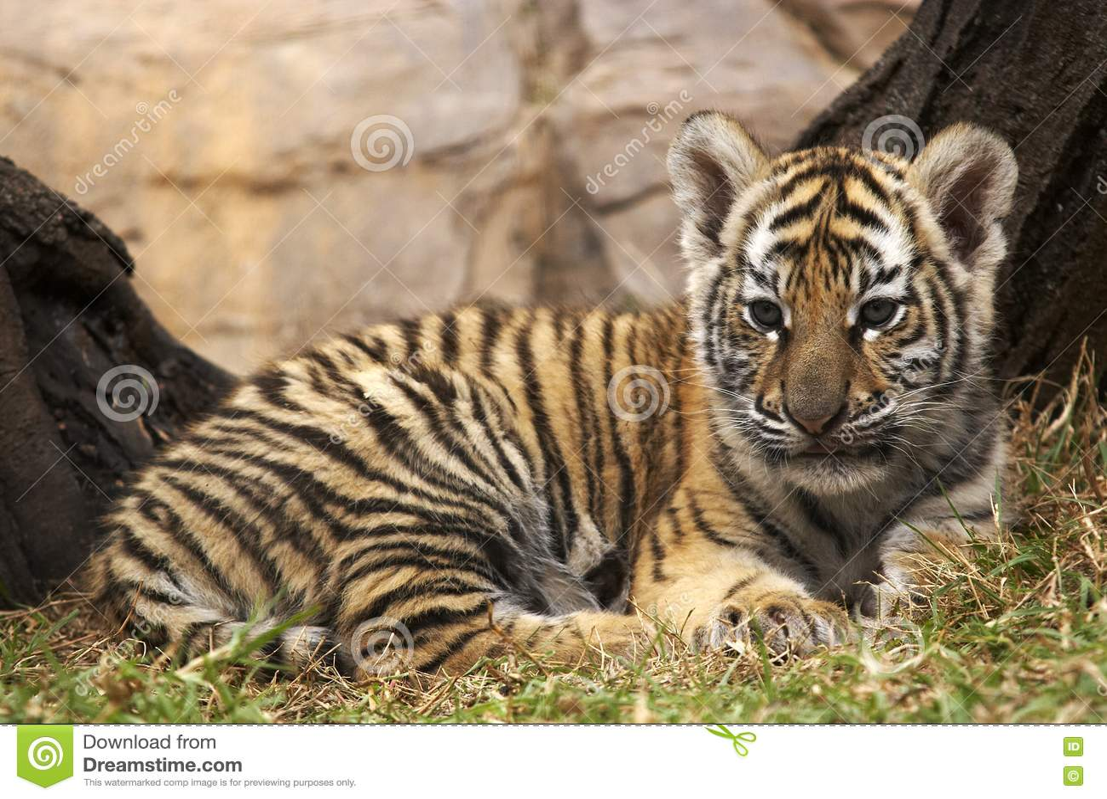 Little tiger 3