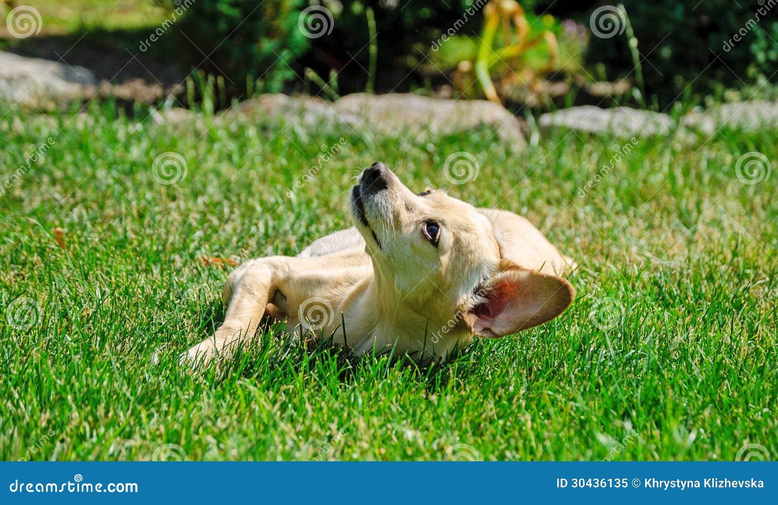 Little toy terrier