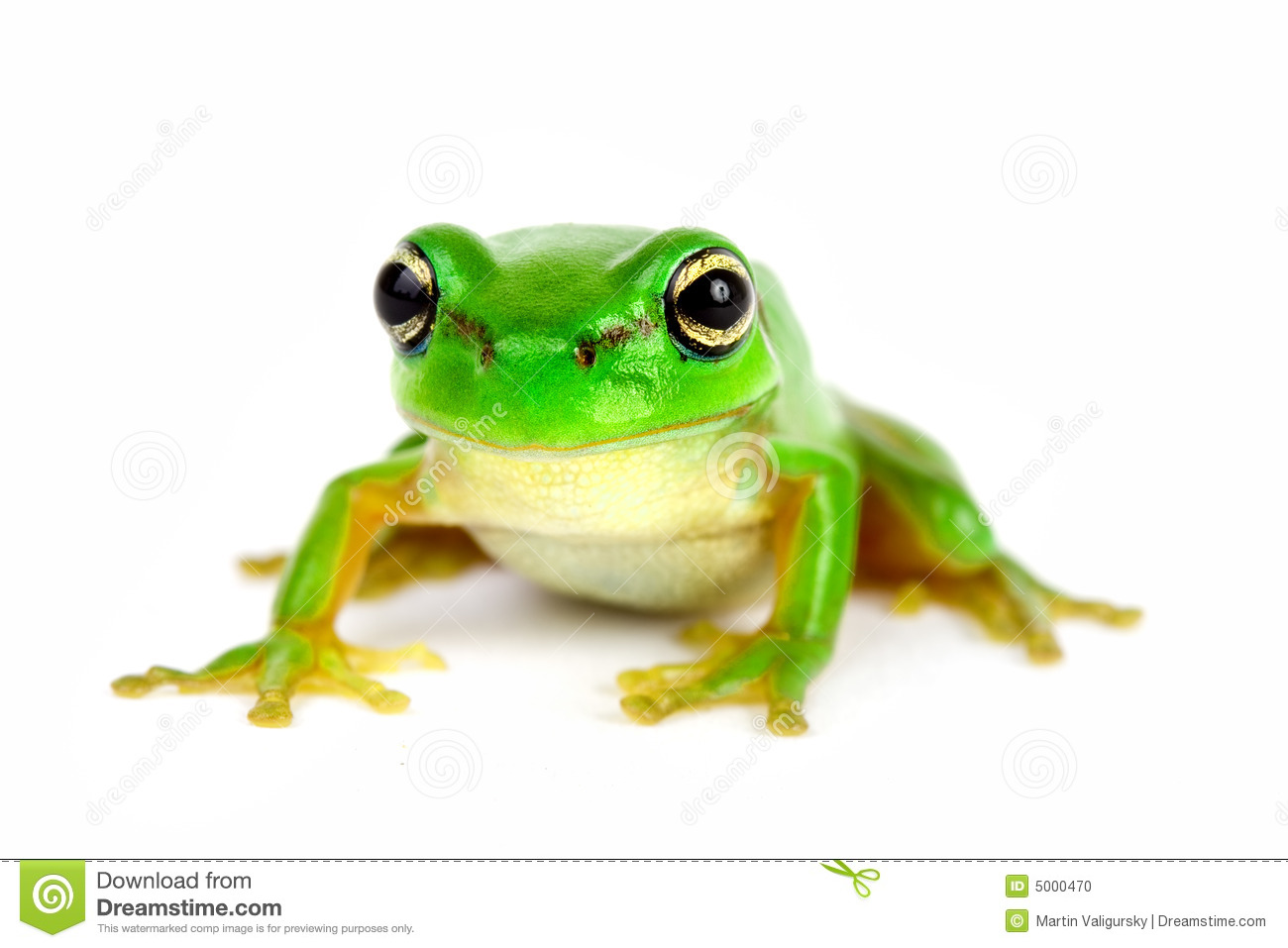 Little Tree-frog On White Background Stock Photo - Image: 5000470
