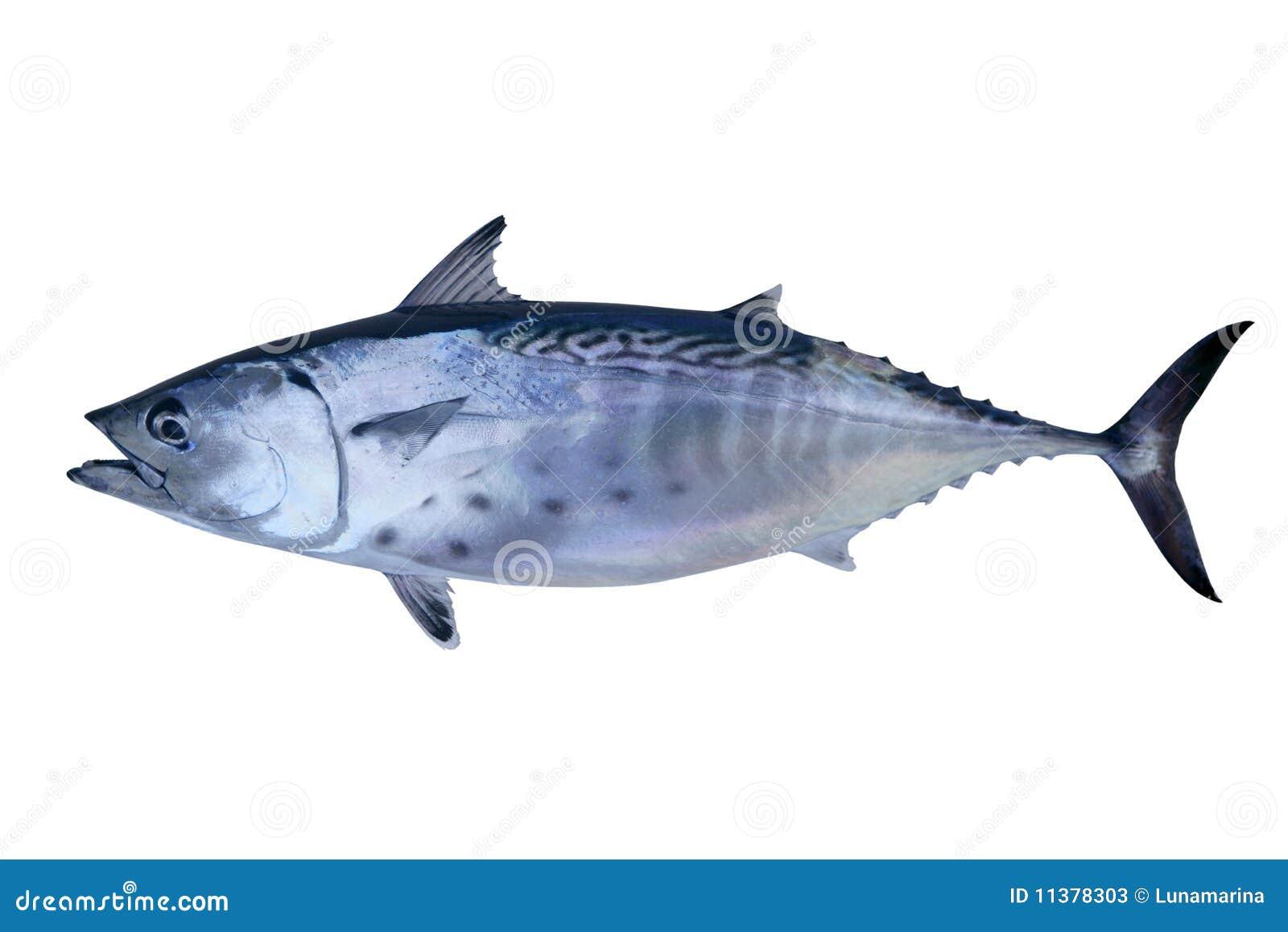 Little tunny catch tuna fish seafood stock image image for Tuna fish price