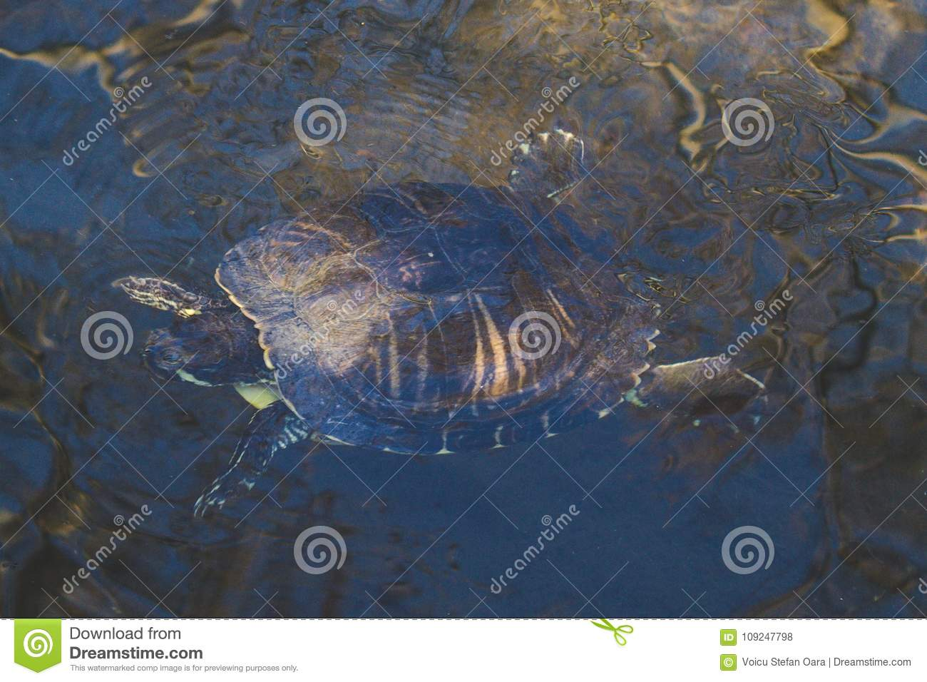 Little Turtle Swimming In A Shallow Water Stock Photo